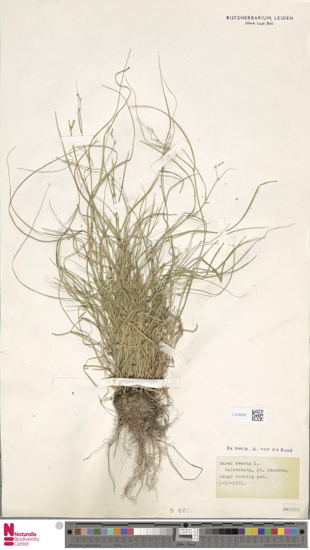 L.3140553 | Carex remota L.