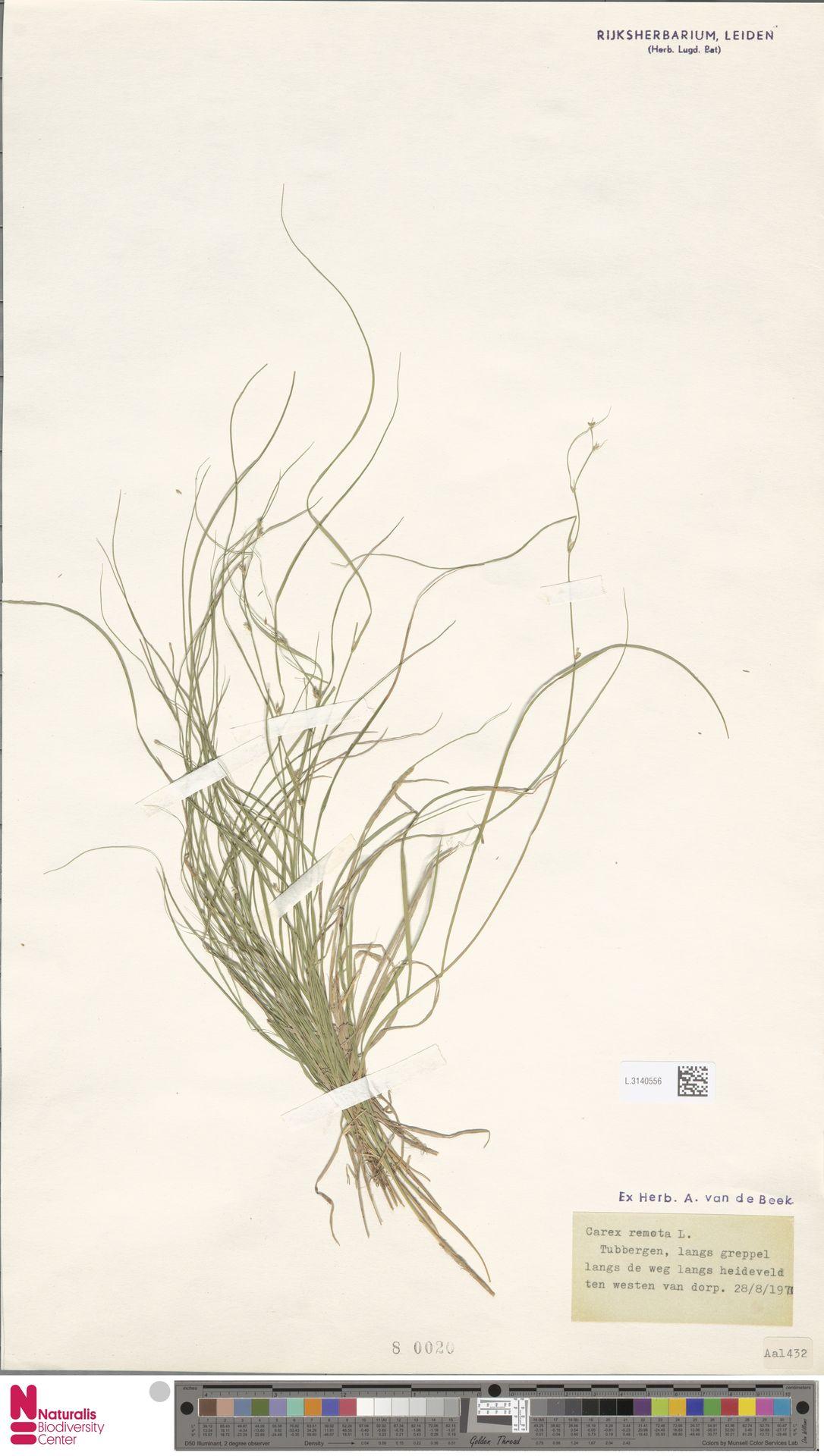 L.3140556 | Carex remota L.