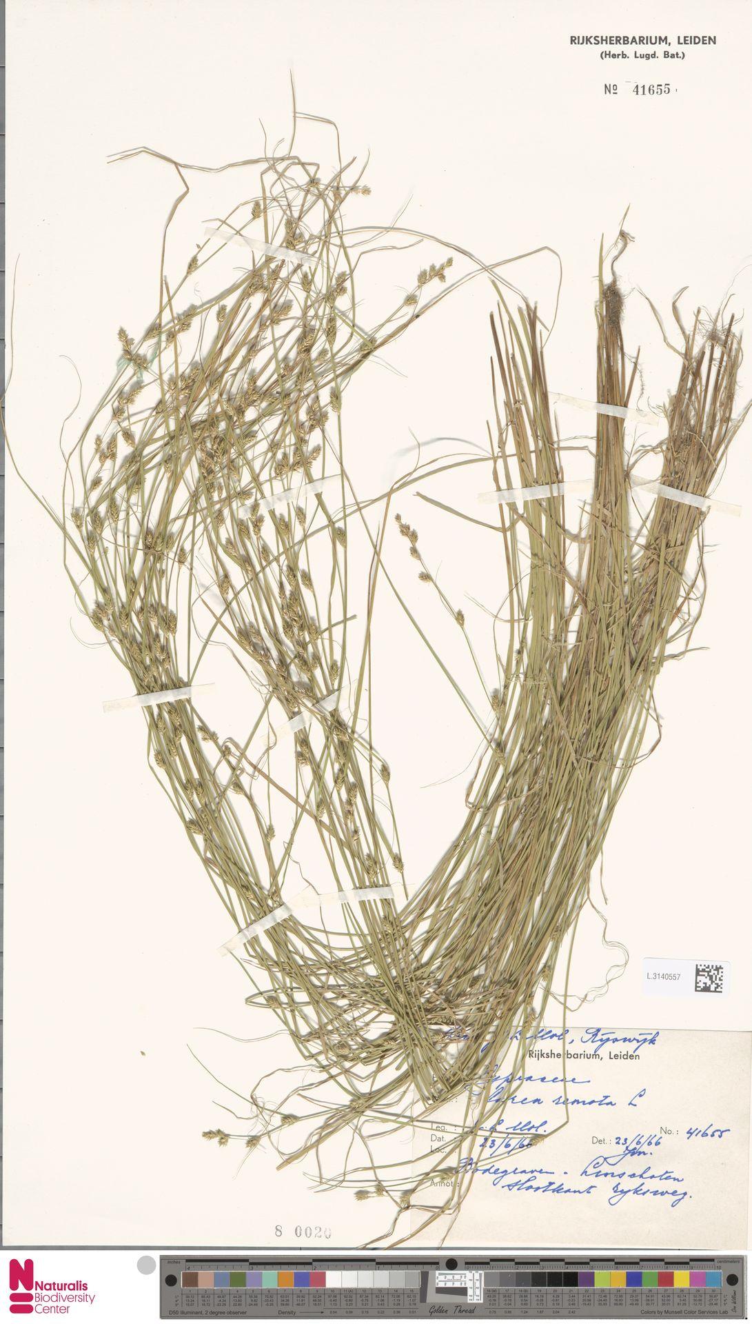 L.3140557 | Carex remota L.