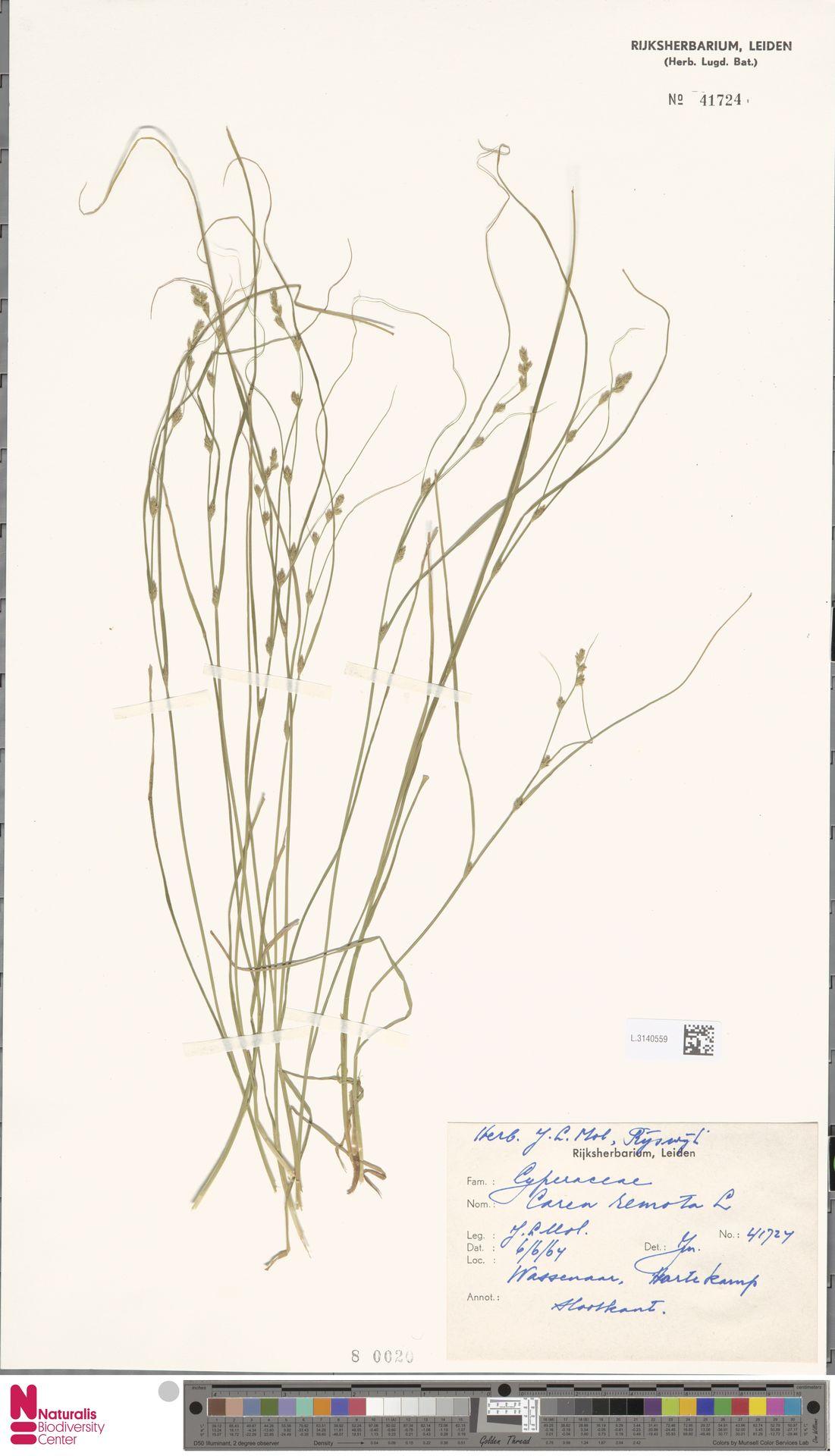 L.3140559 | Carex remota L.