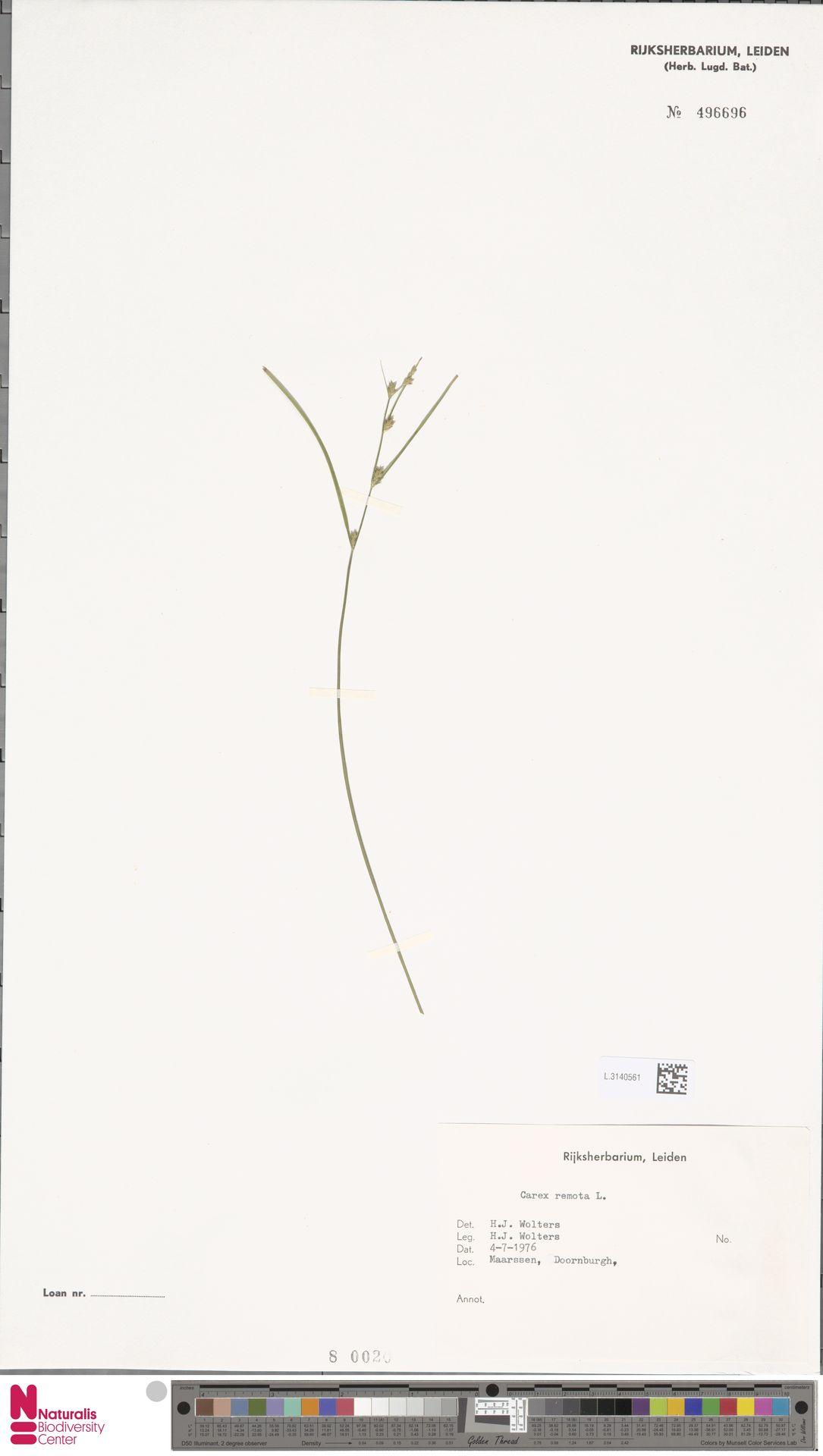 L.3140561   Carex remota L.