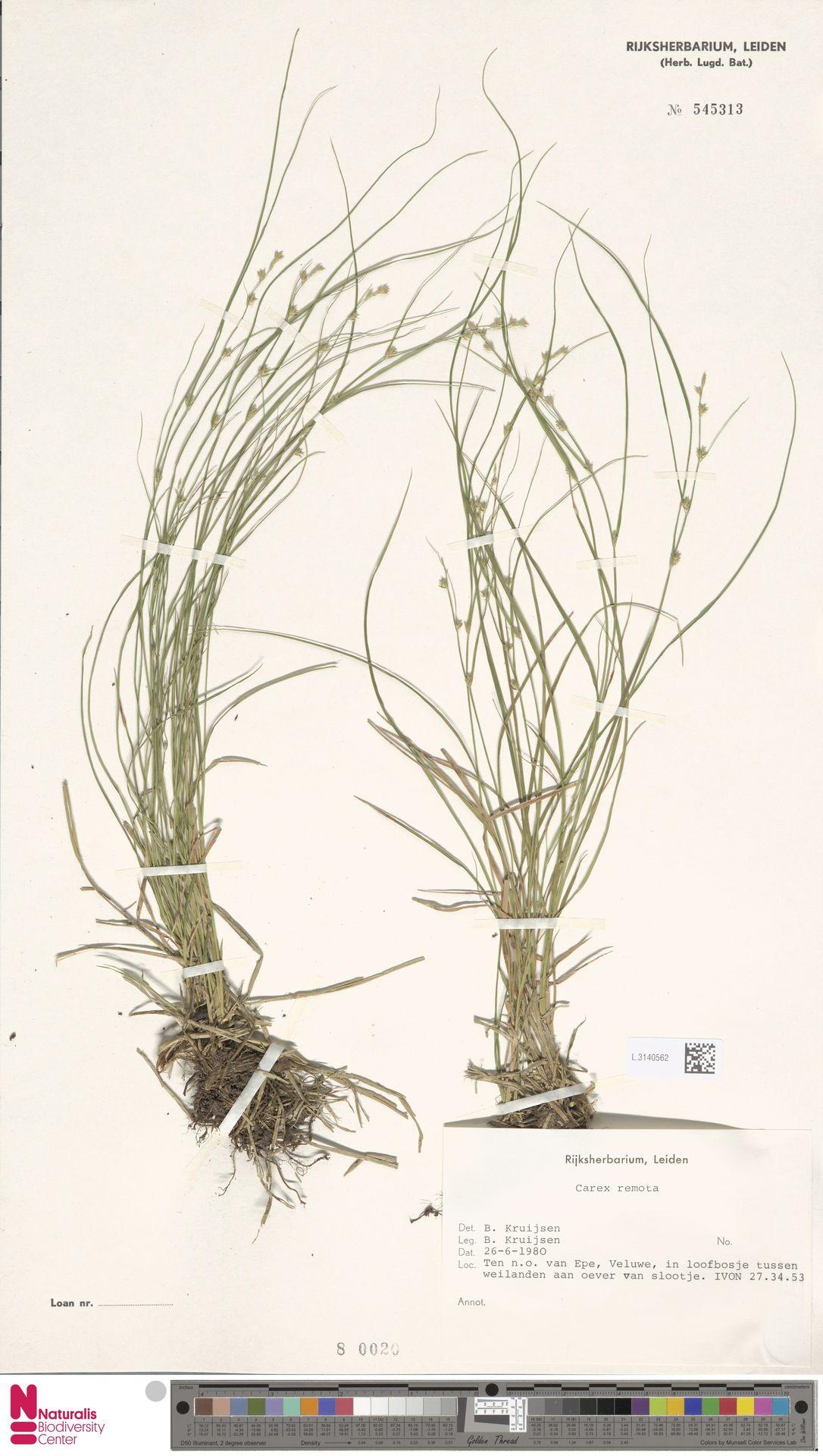 L.3140562 | Carex remota L.