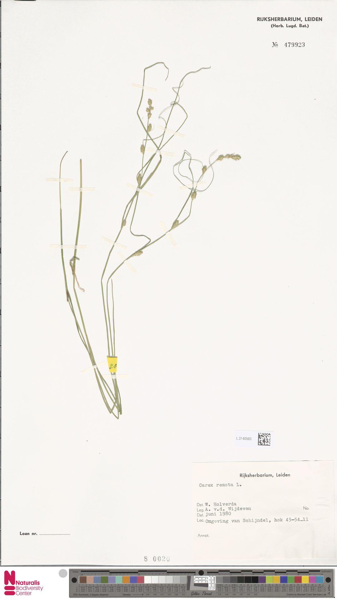 L.3140563 | Carex remota L.