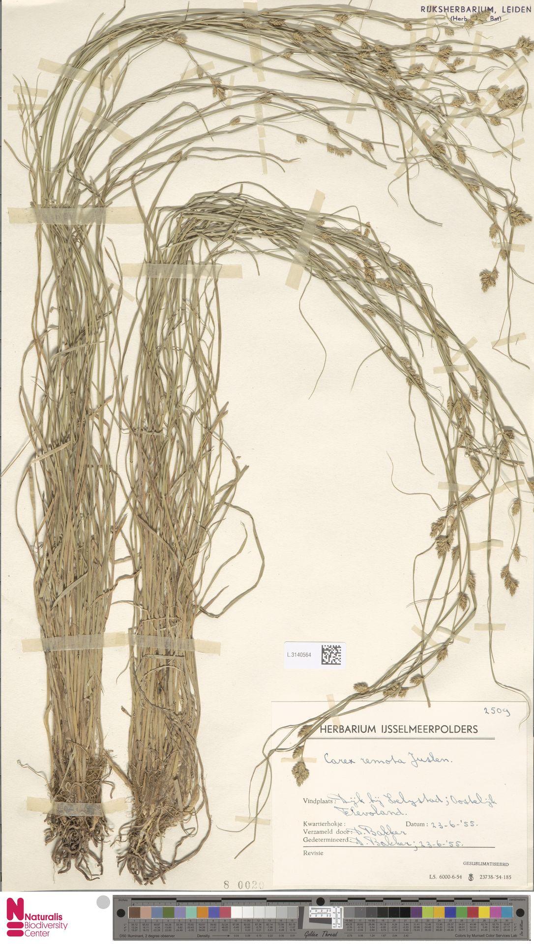 L.3140564 | Carex remota L.
