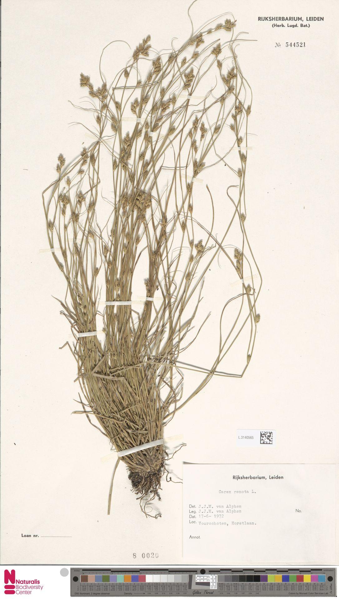 L.3140565 | Carex remota L.