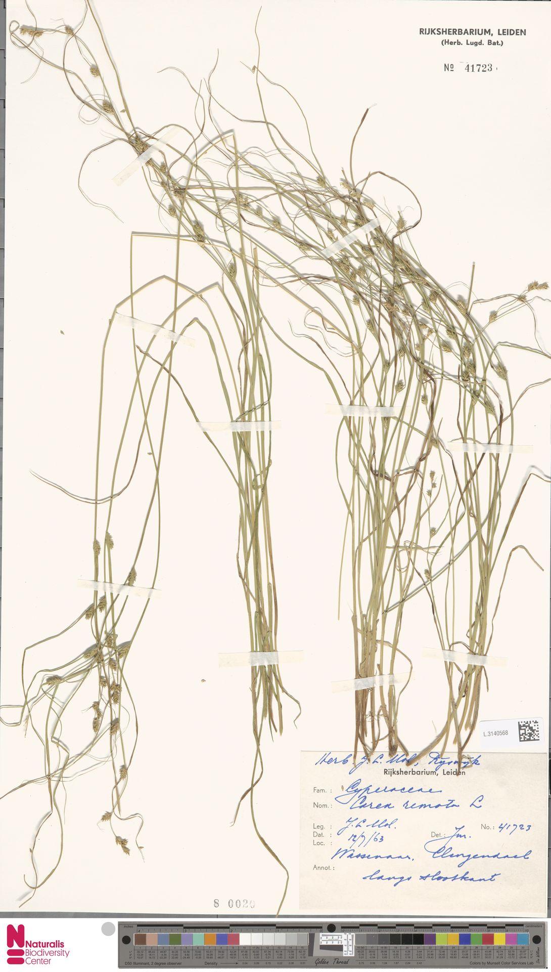 L.3140568 | Carex remota L.