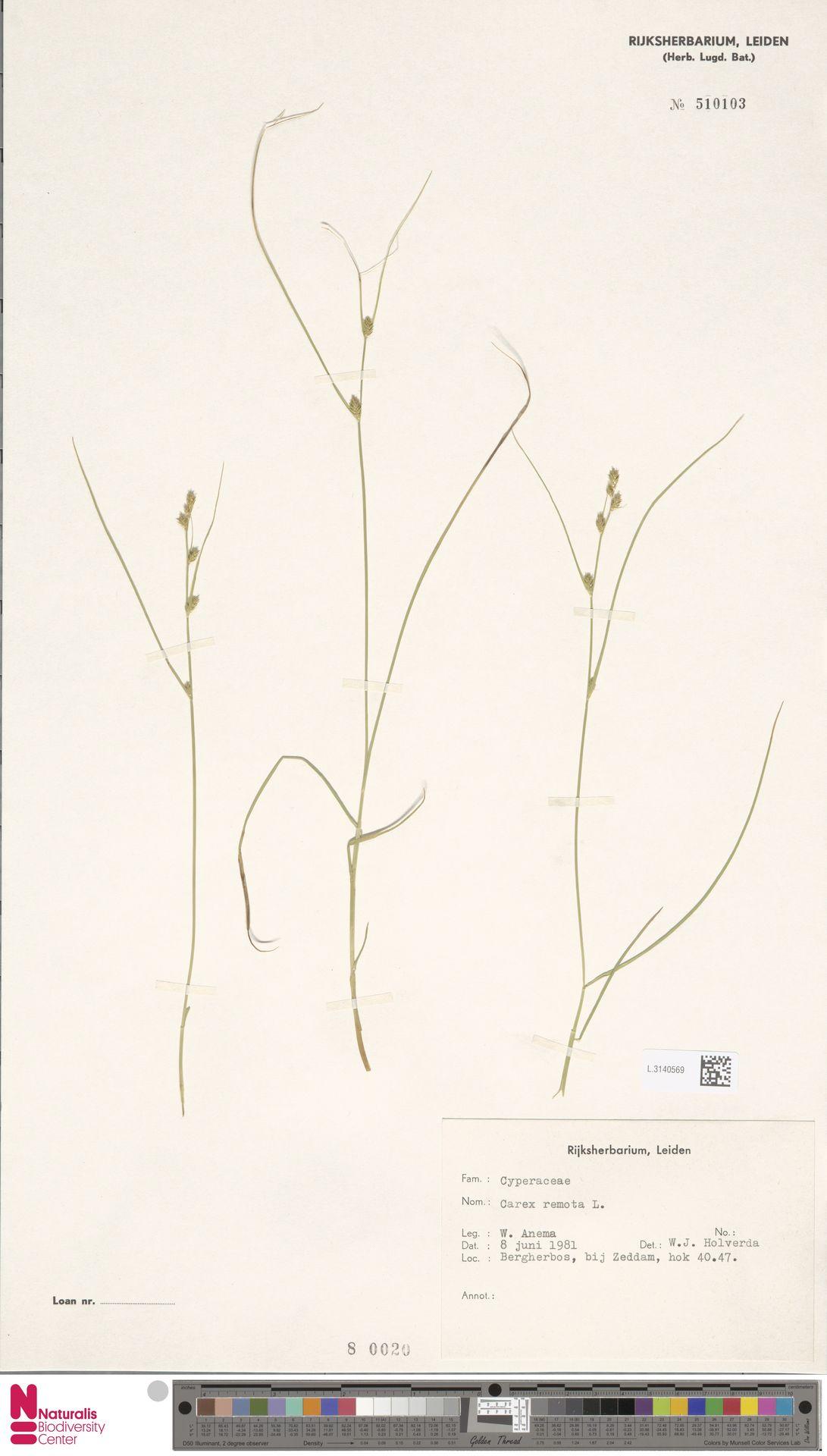 L.3140569 | Carex remota L.