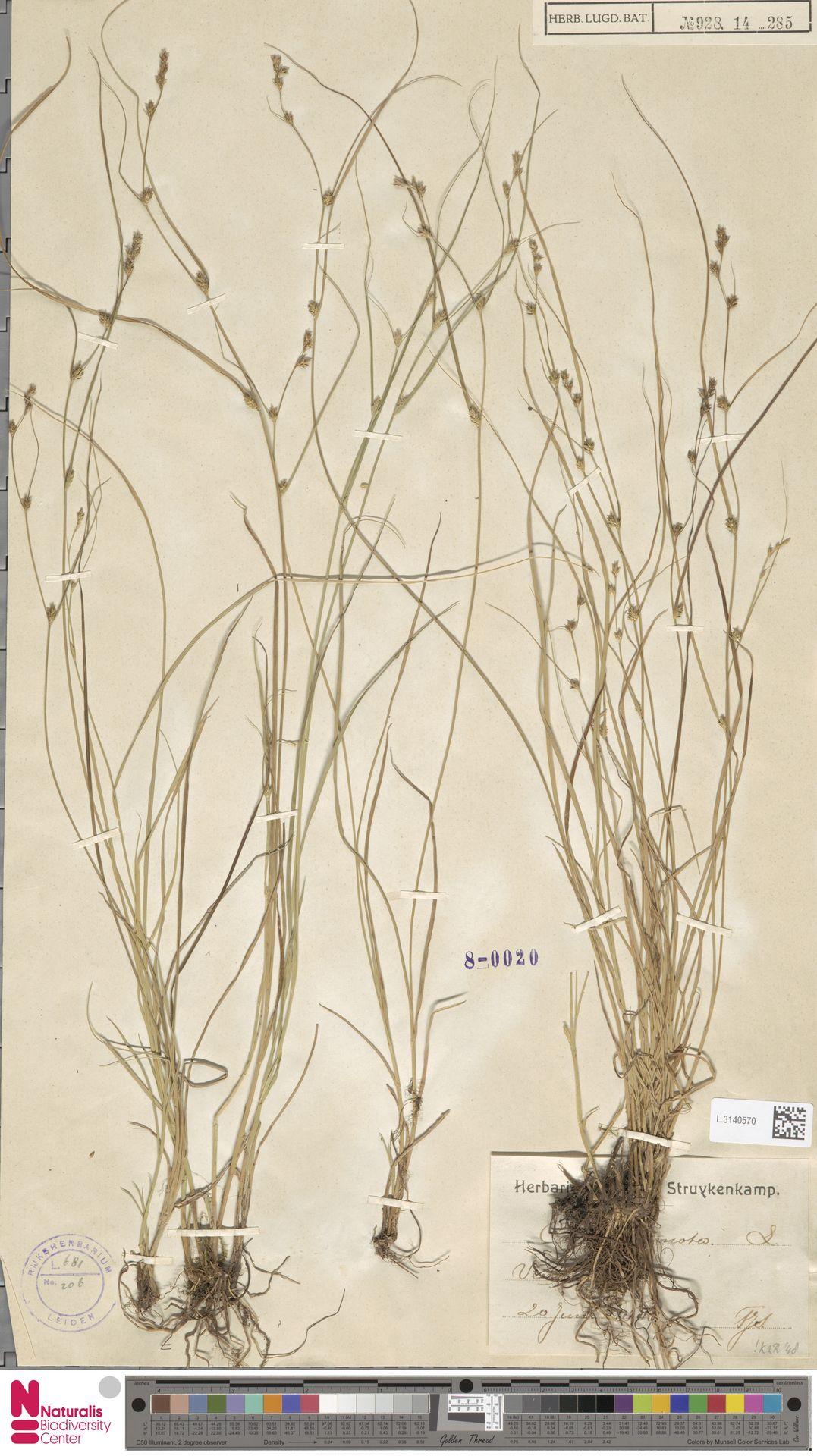 L.3140570 | Carex remota L.