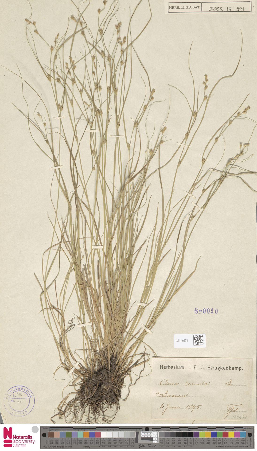 L.3140571 | Carex remota L.