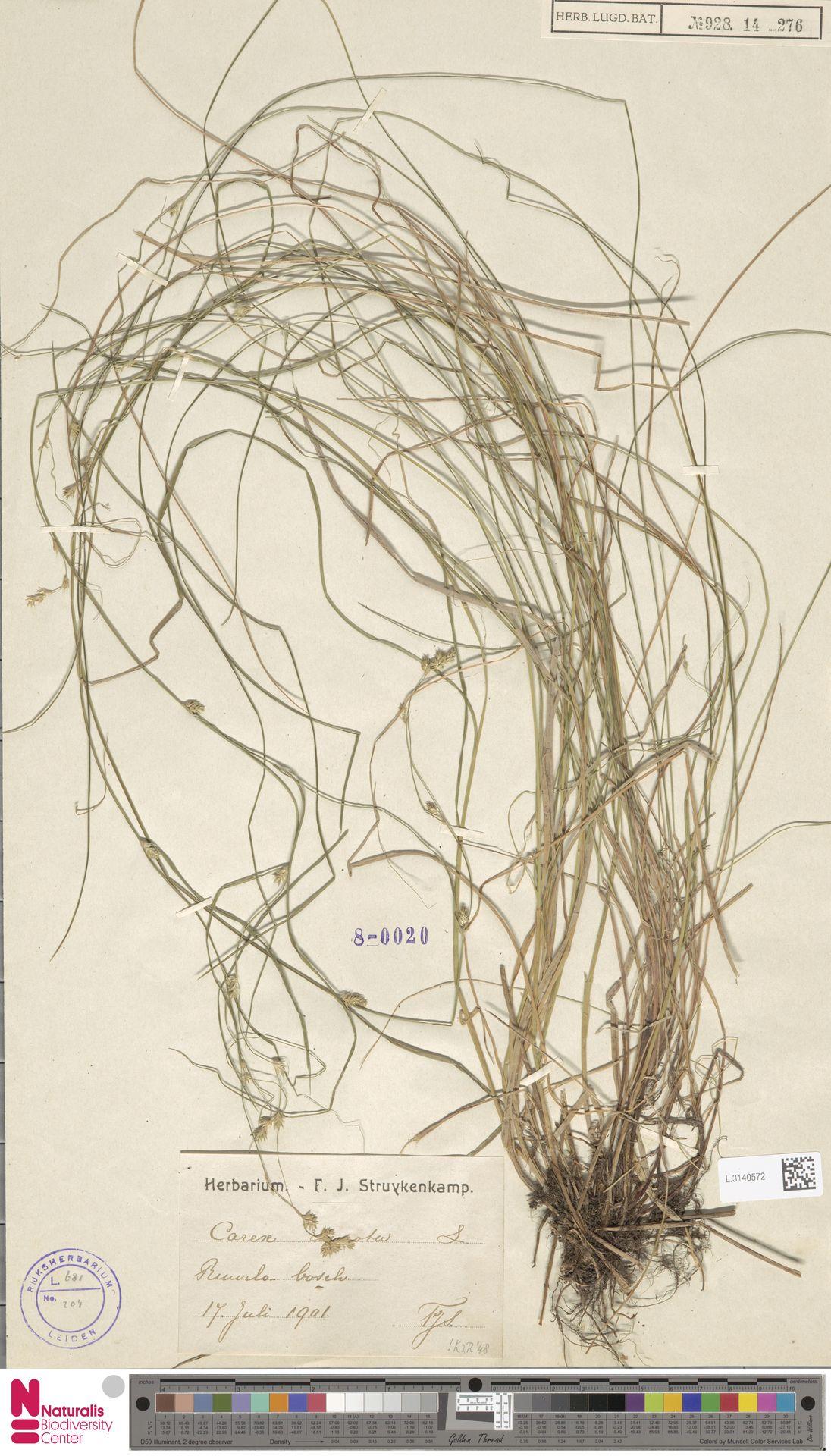 L.3140572   Carex remota L.