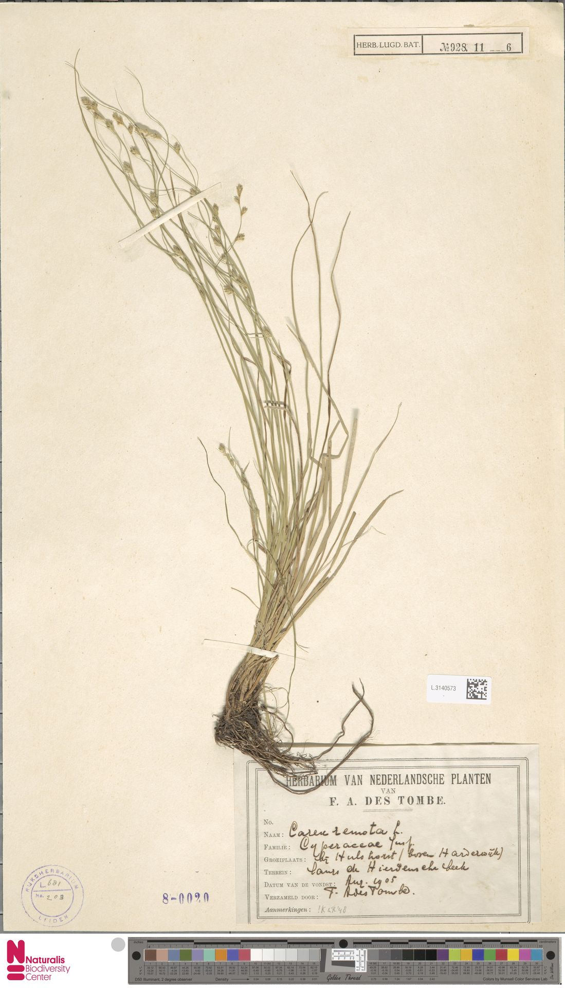 L.3140573   Carex remota L.
