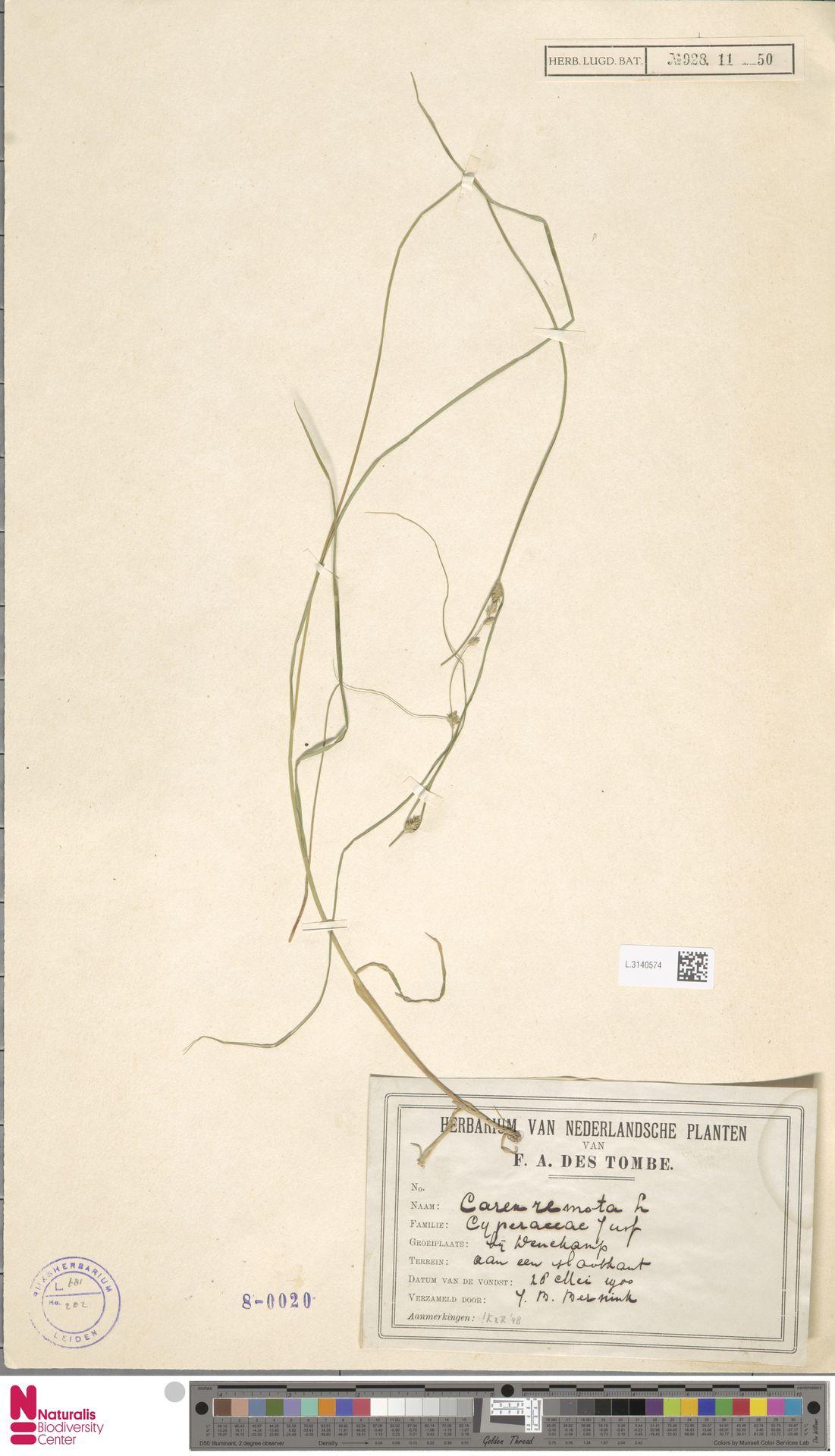 L.3140574 | Carex remota L.
