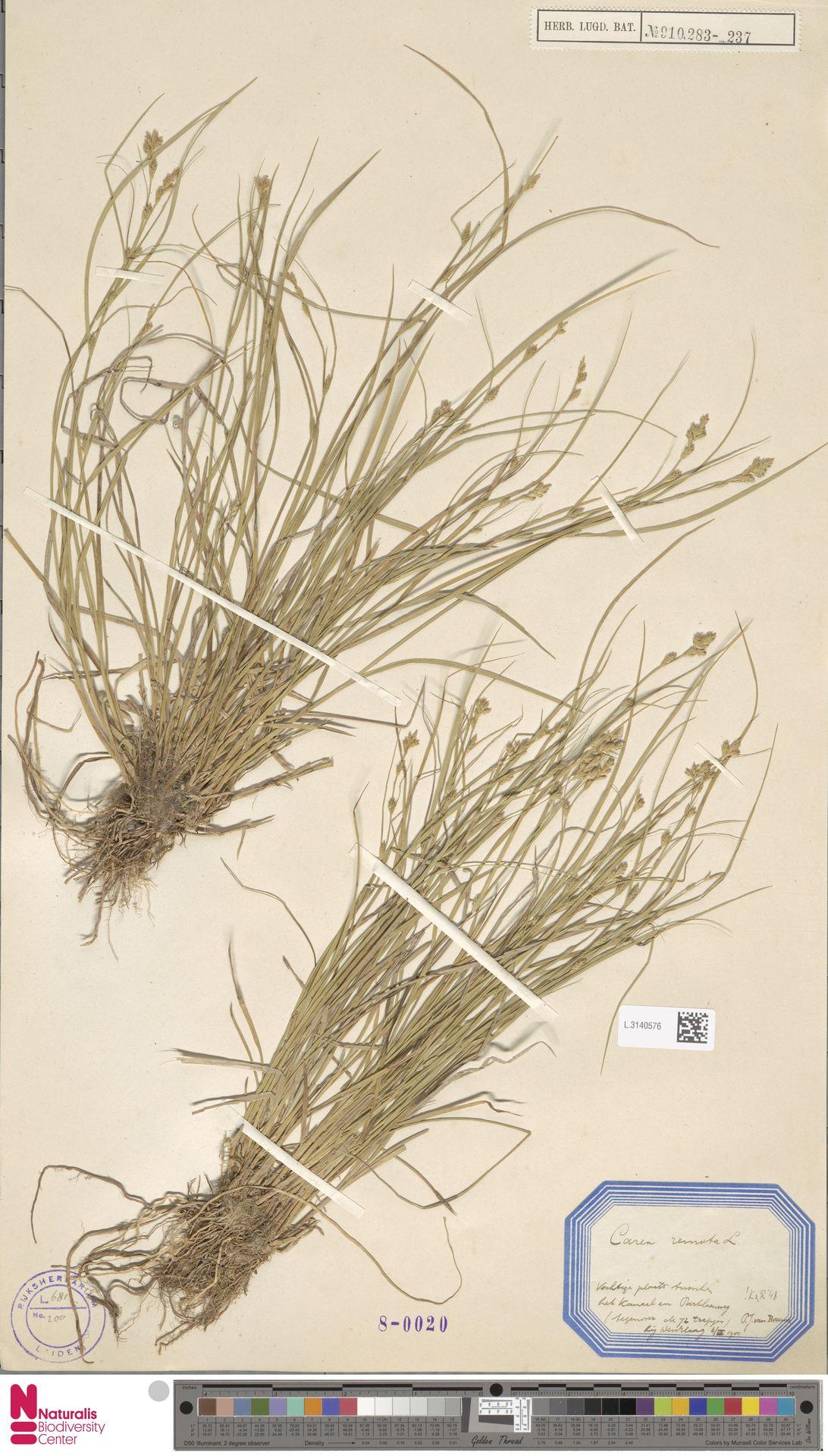 L.3140576 | Carex remota L.