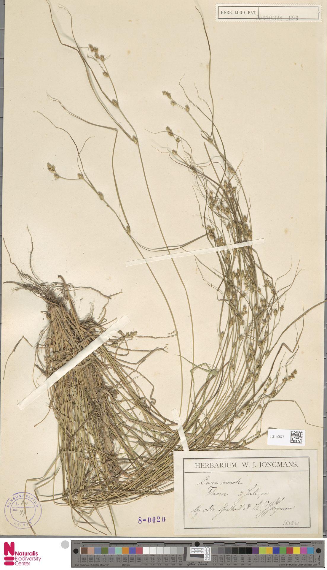 L.3140577 | Carex remota L.