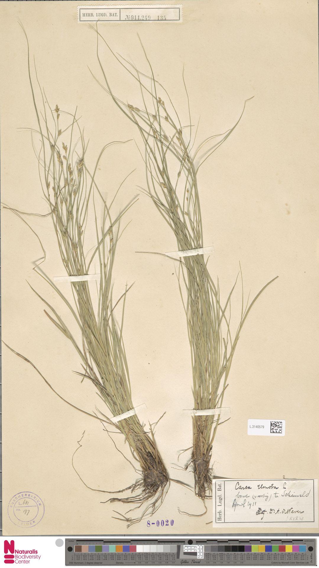 L.3140579 | Carex remota L.