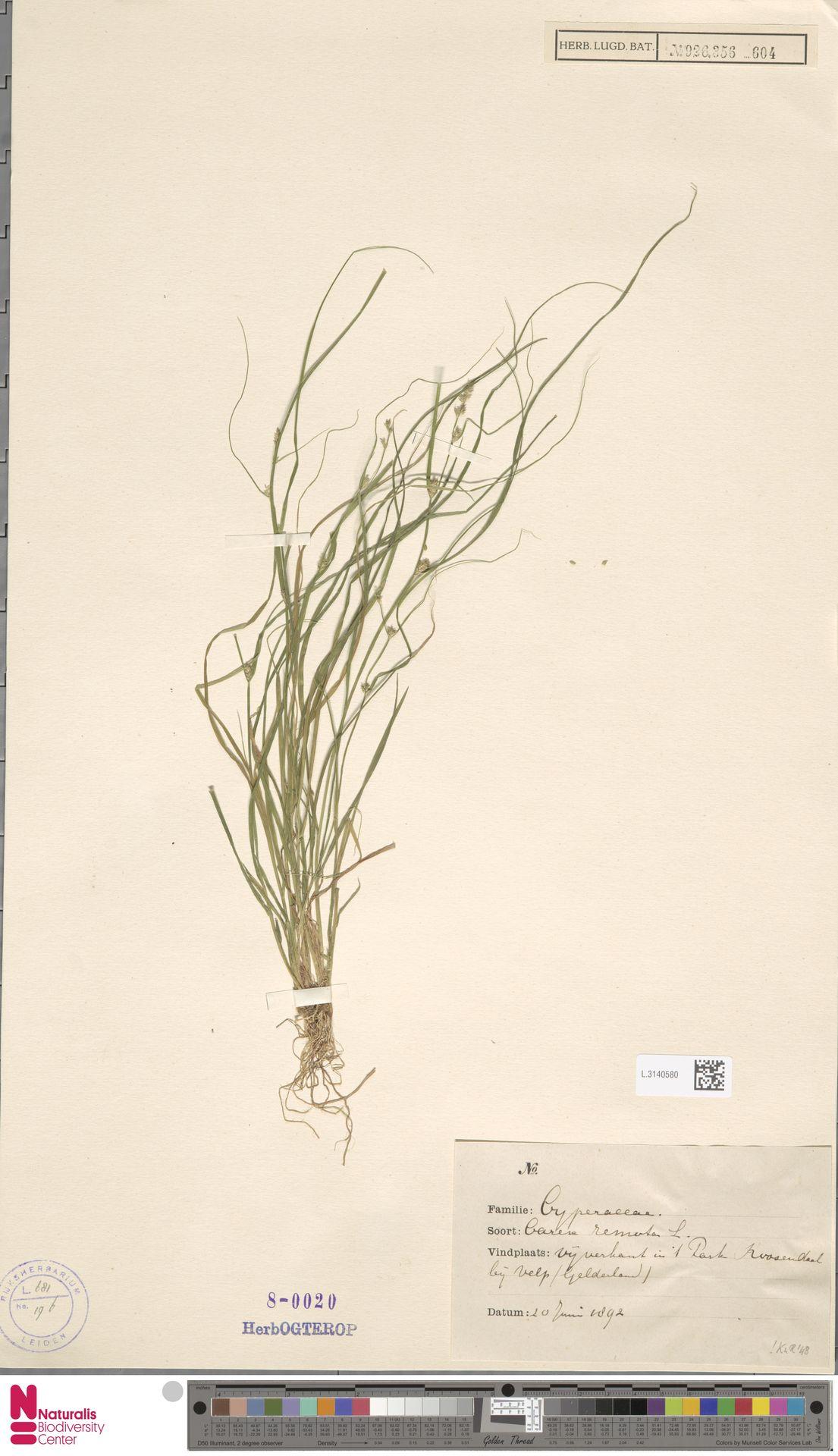 L.3140580 | Carex remota L.