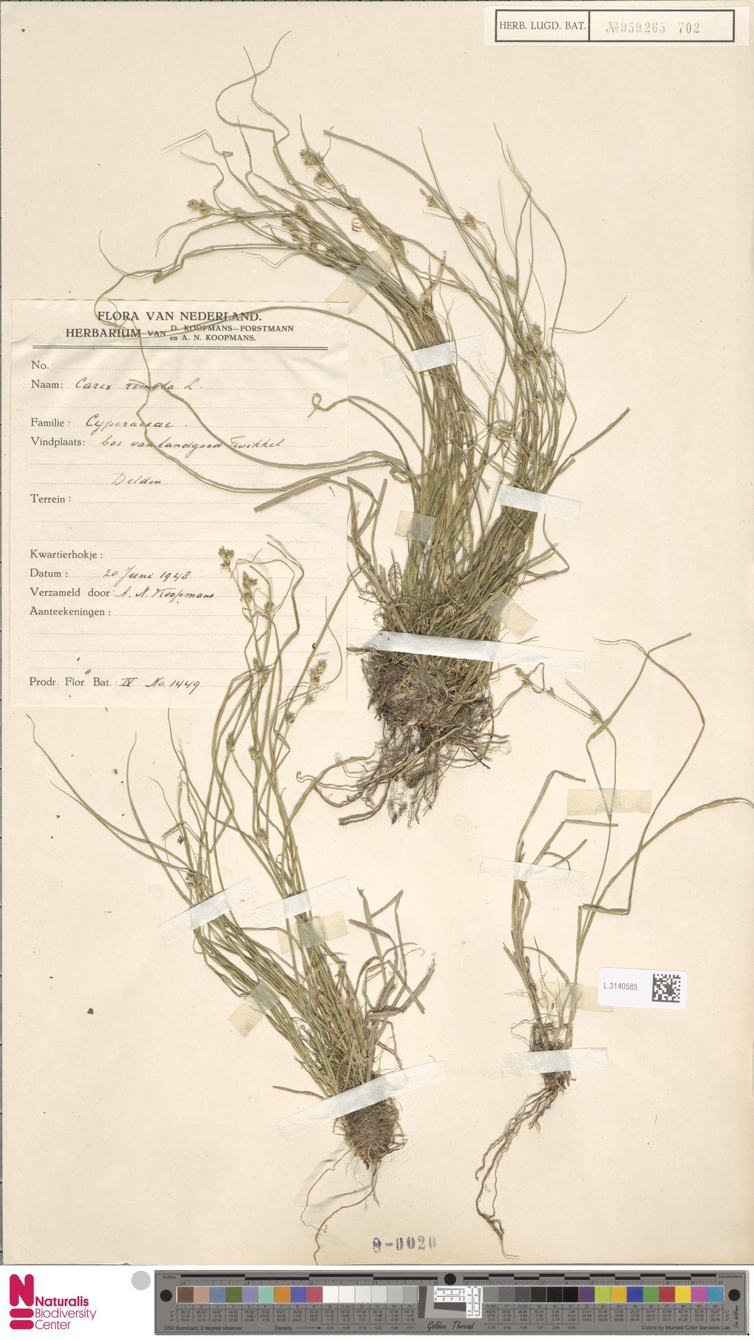 L.3140585 | Carex remota L.