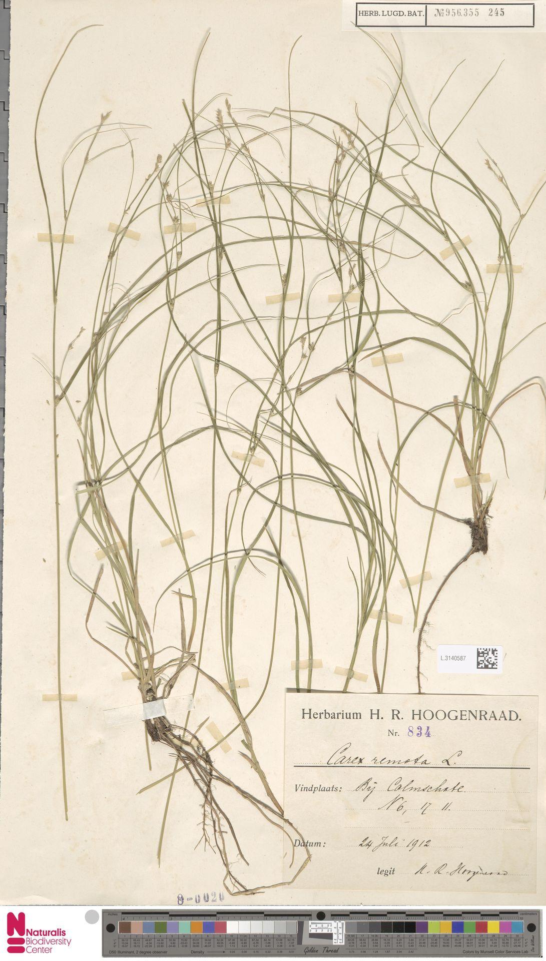 L.3140587 | Carex remota L.
