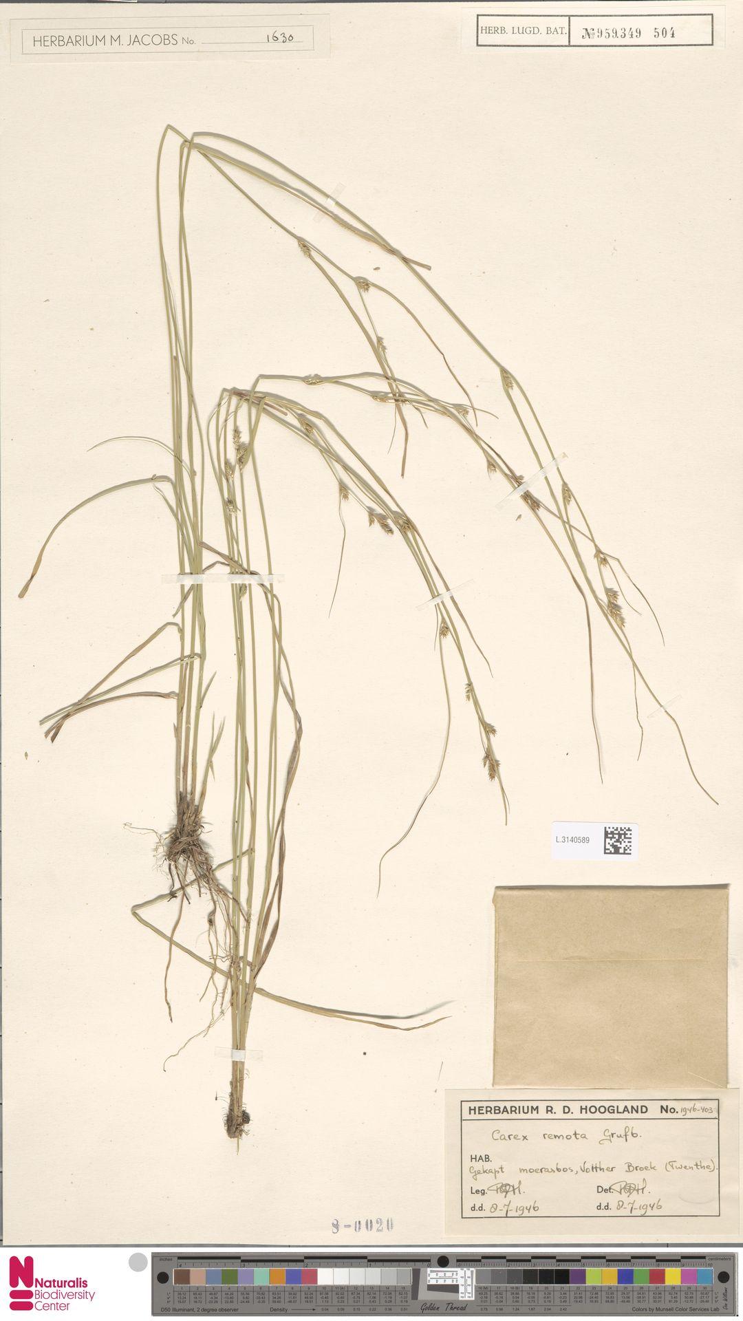 L.3140589 | Carex remota L.
