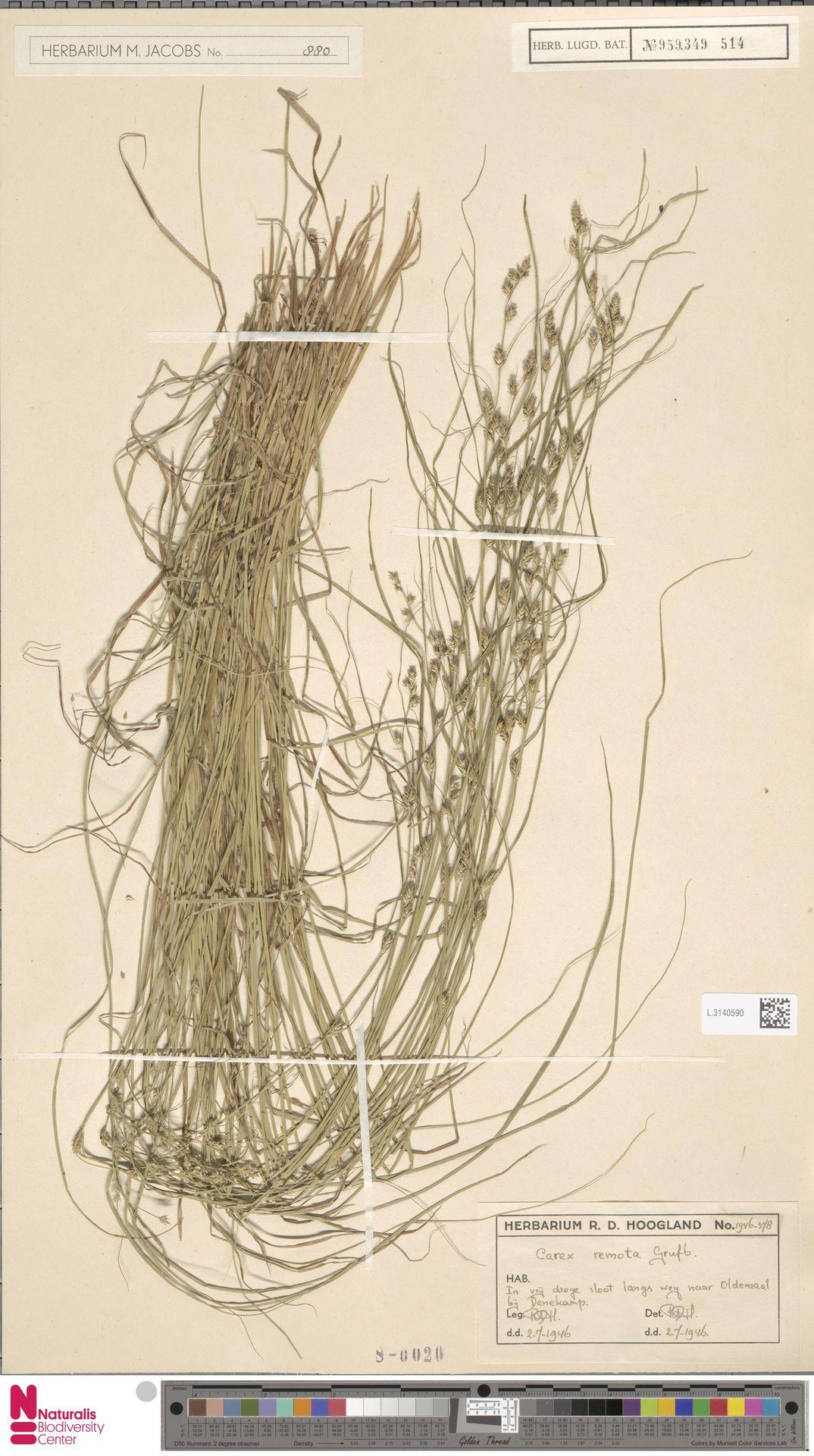 L.3140590   Carex remota L.