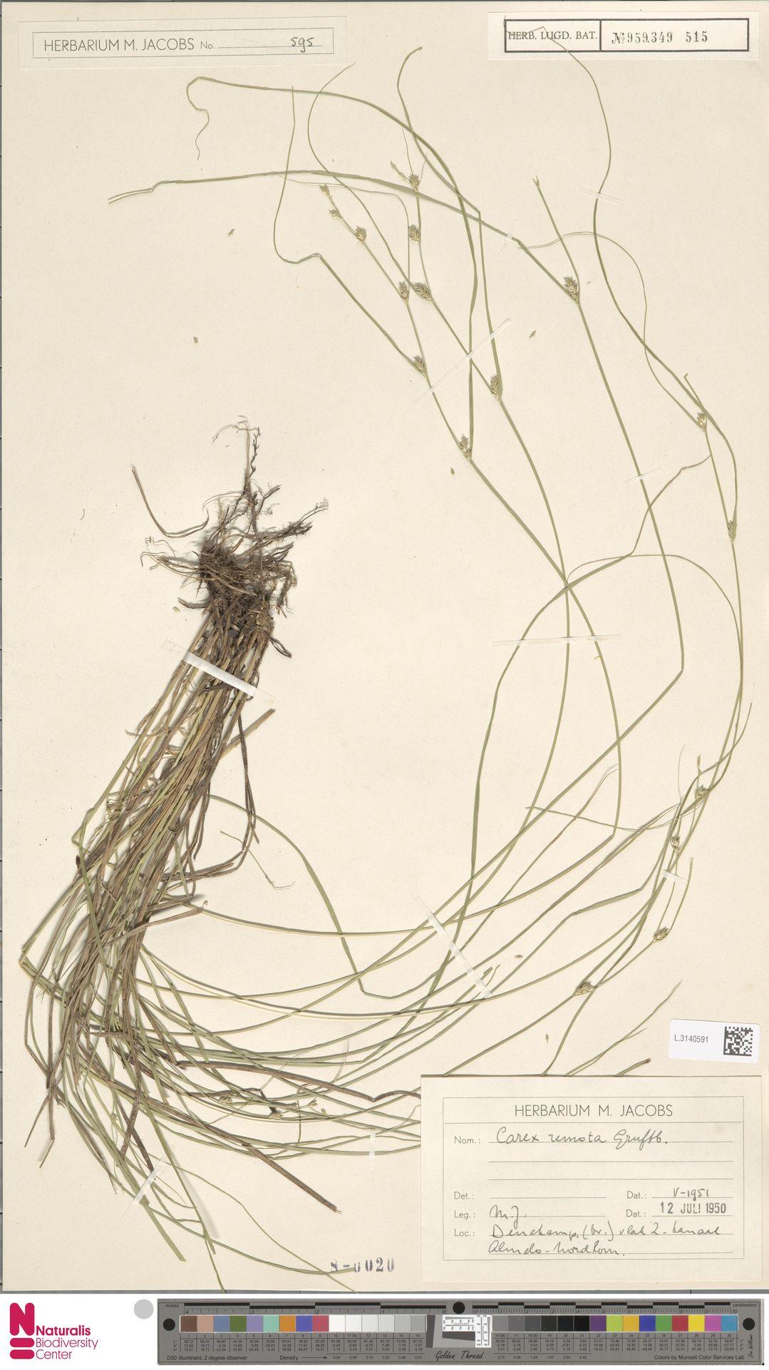 L.3140591 | Carex remota L.
