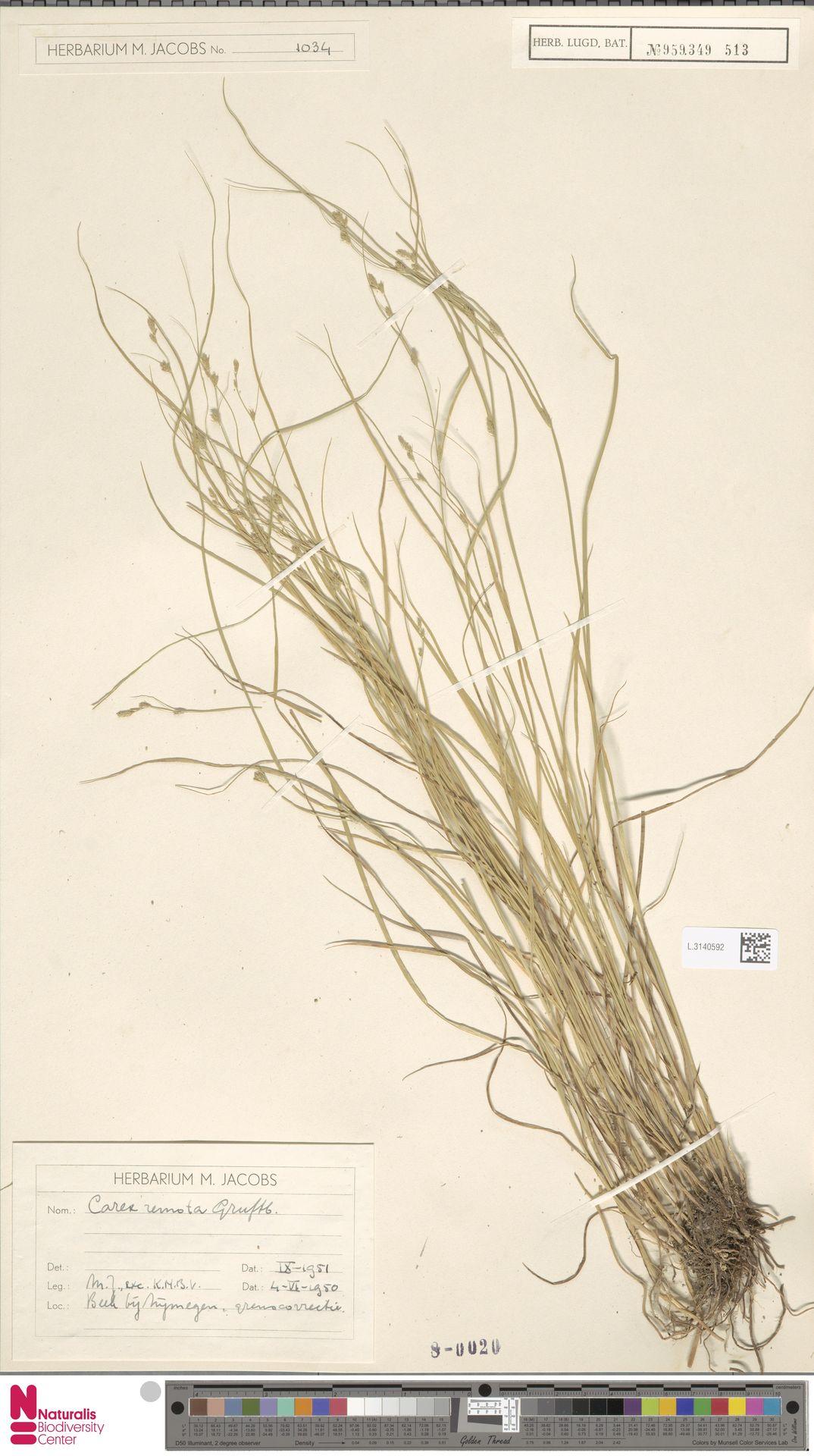 L.3140592 | Carex remota L.
