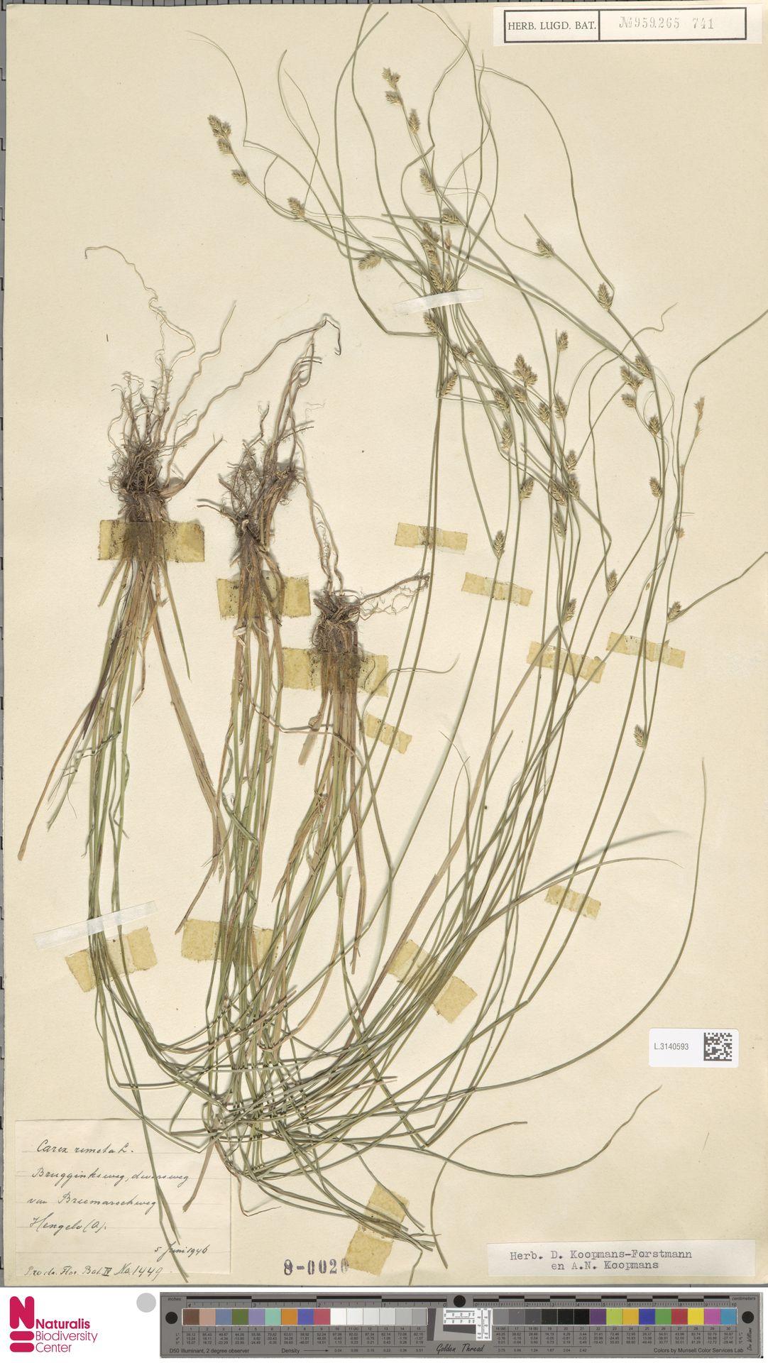 L.3140593   Carex remota L.