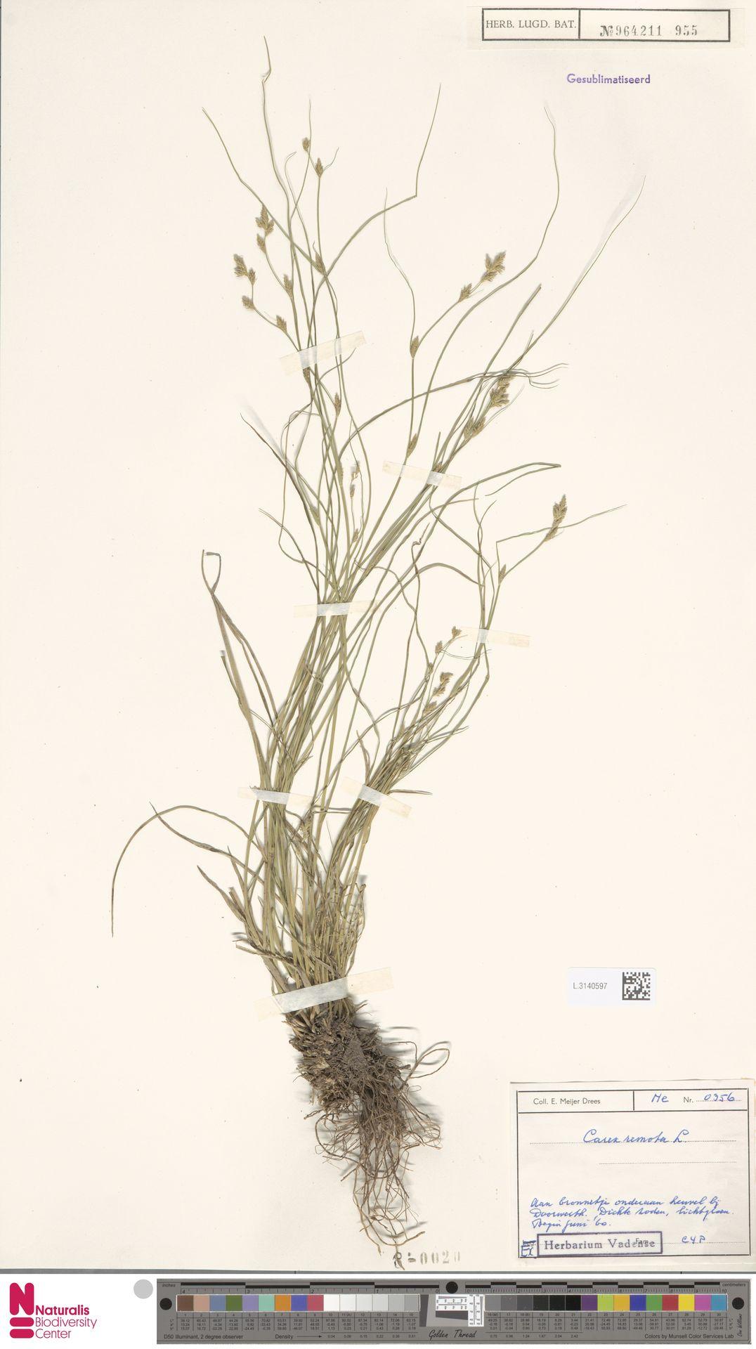 L.3140597 | Carex remota L.