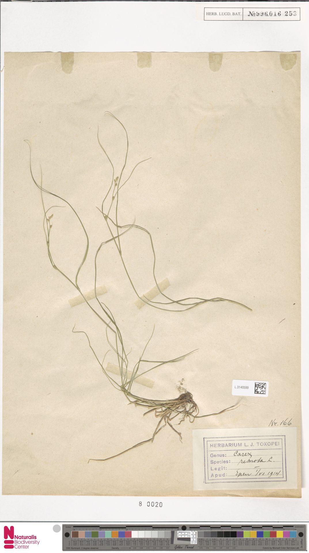 L.3140599 | Carex remota L.