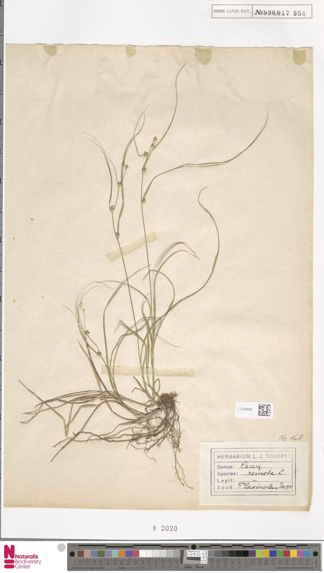 L.3140600   Carex remota L.