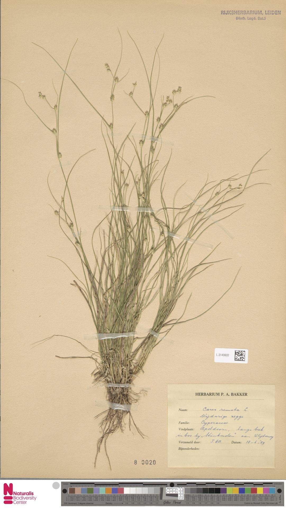 L.3140602 | Carex remota L.