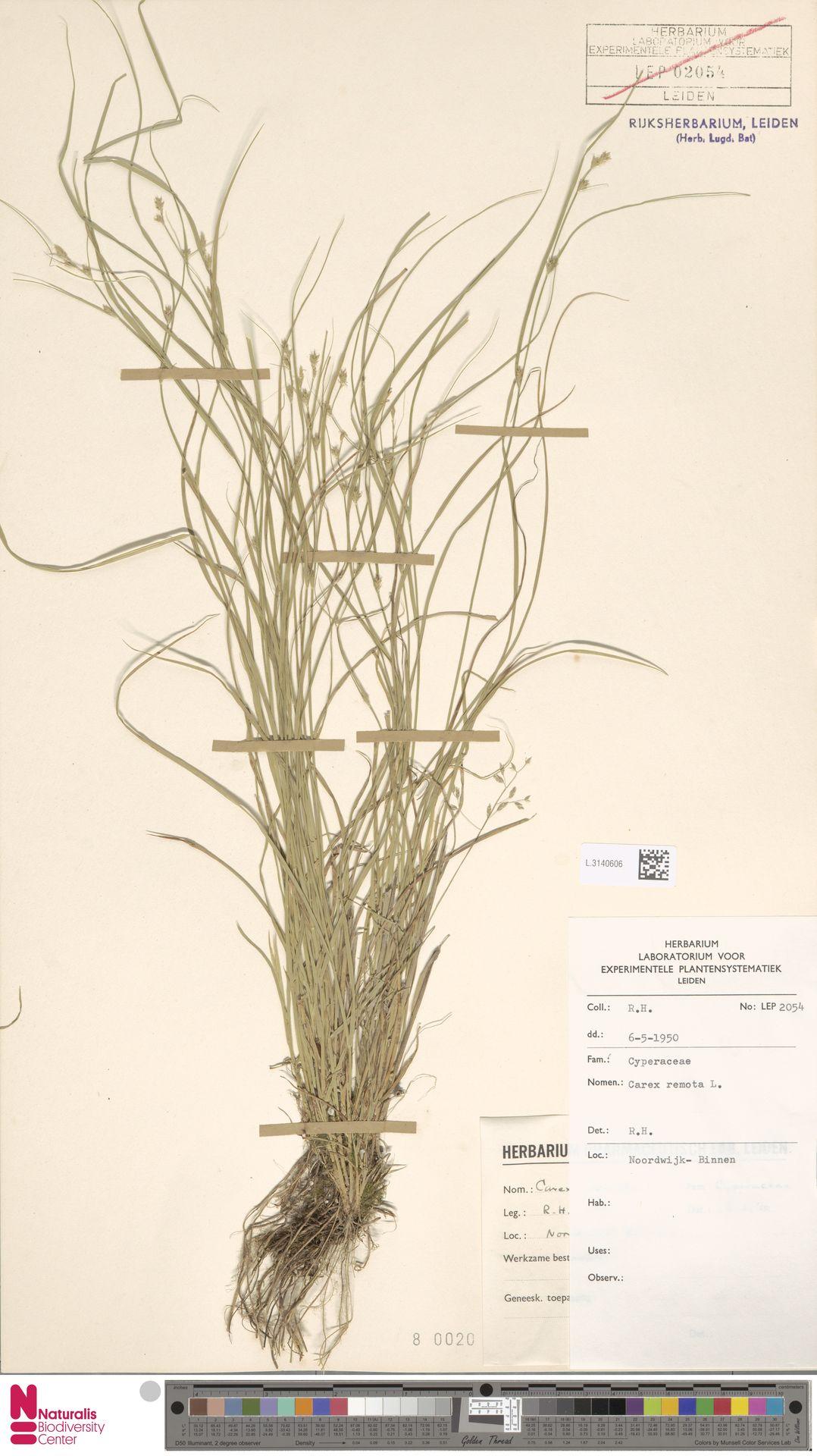 L.3140606 | Carex remota L.