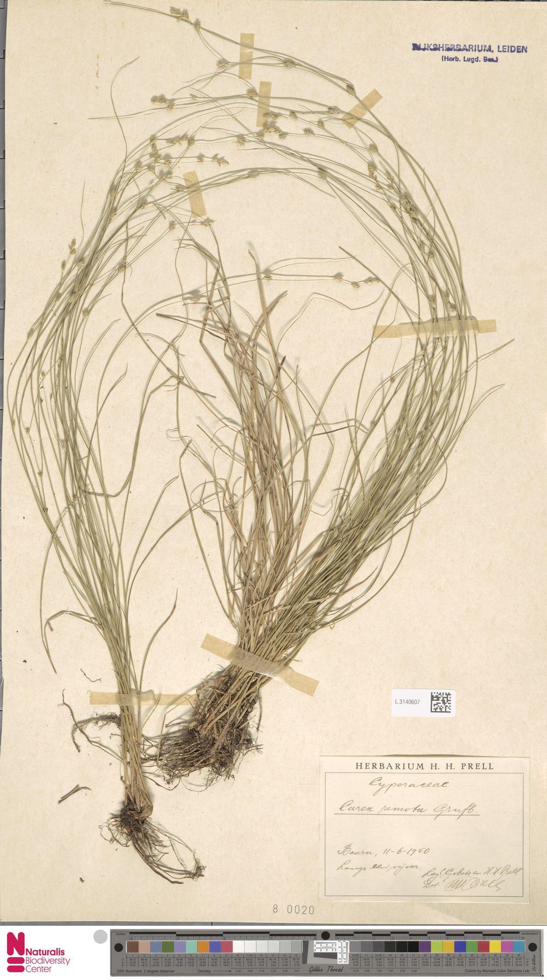 L.3140607 | Carex remota L.