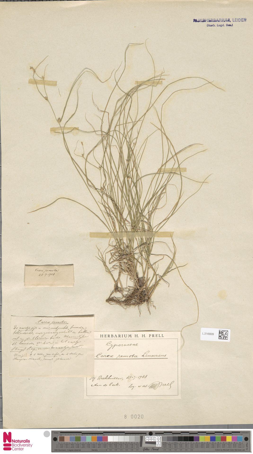 L.3140609 | Carex remota L.