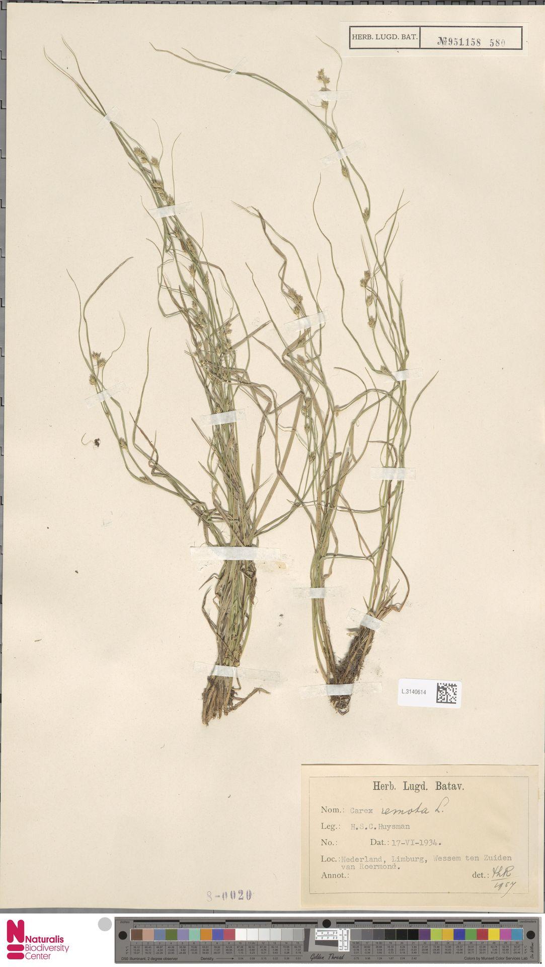 L.3140614 | Carex remota L.