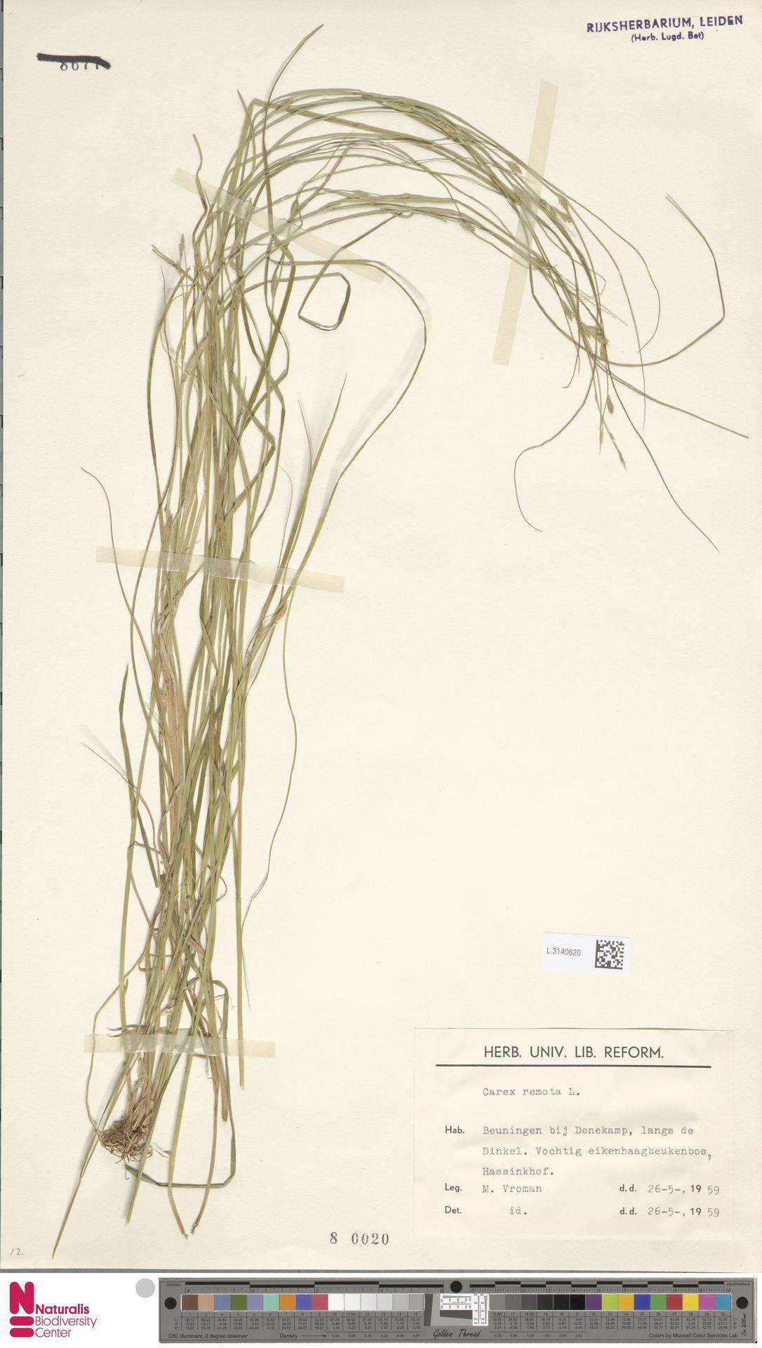 L.3140620 | Carex remota L.