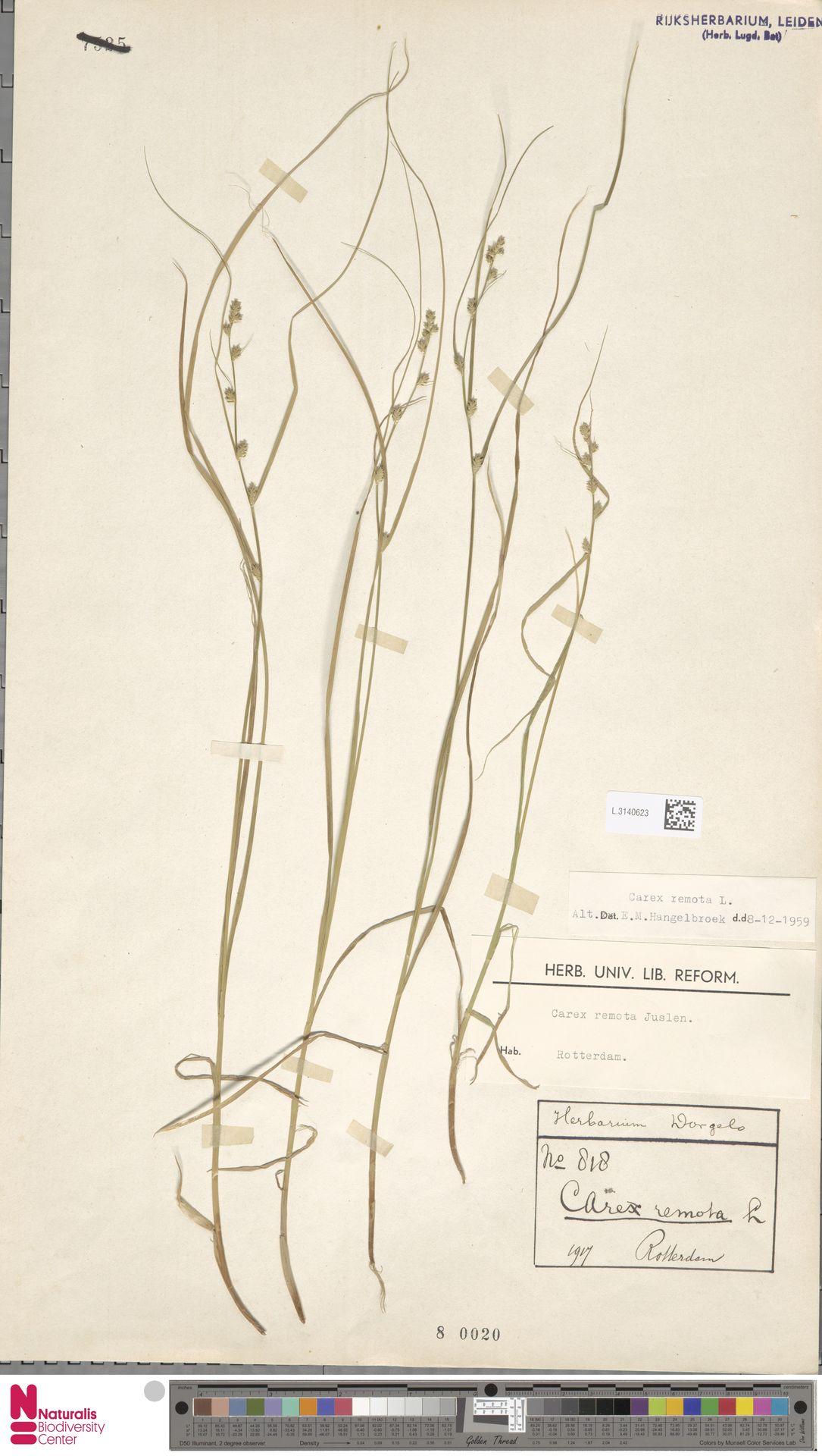 L.3140623 | Carex remota L.