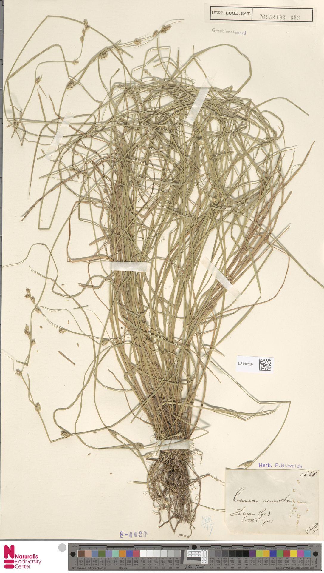 L.3140626 | Carex remota L.