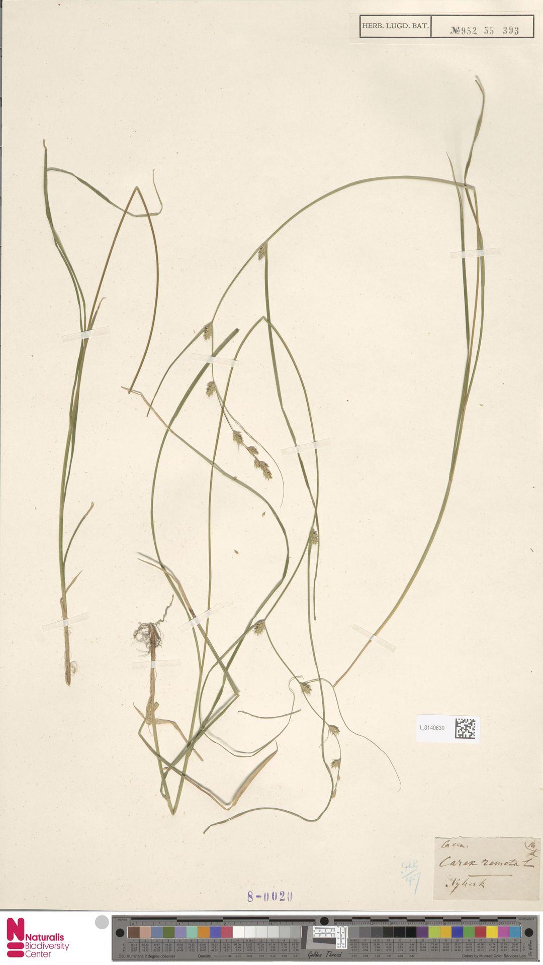 L.3140630   Carex remota L.