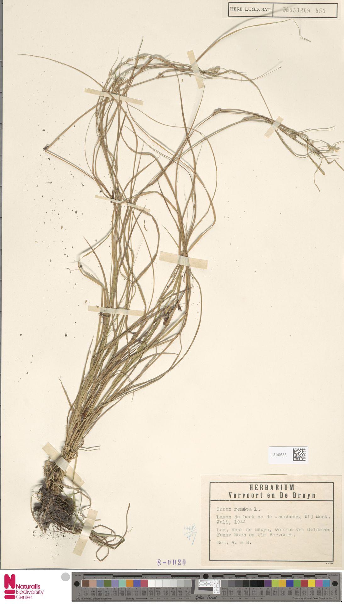 L.3140632 | Carex remota L.
