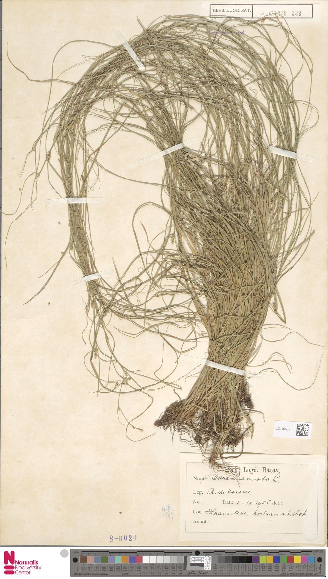 L.3140635 | Carex remota L.
