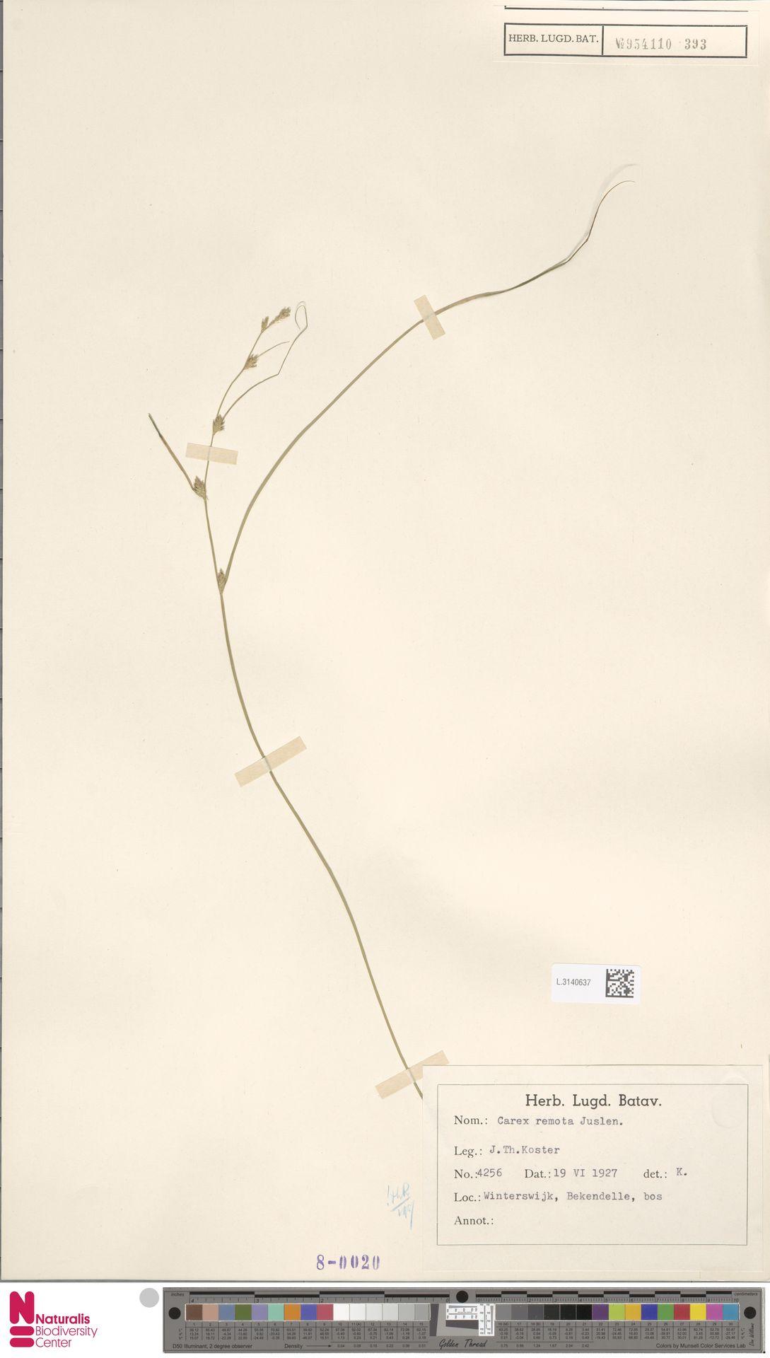L.3140637 | Carex remota L.