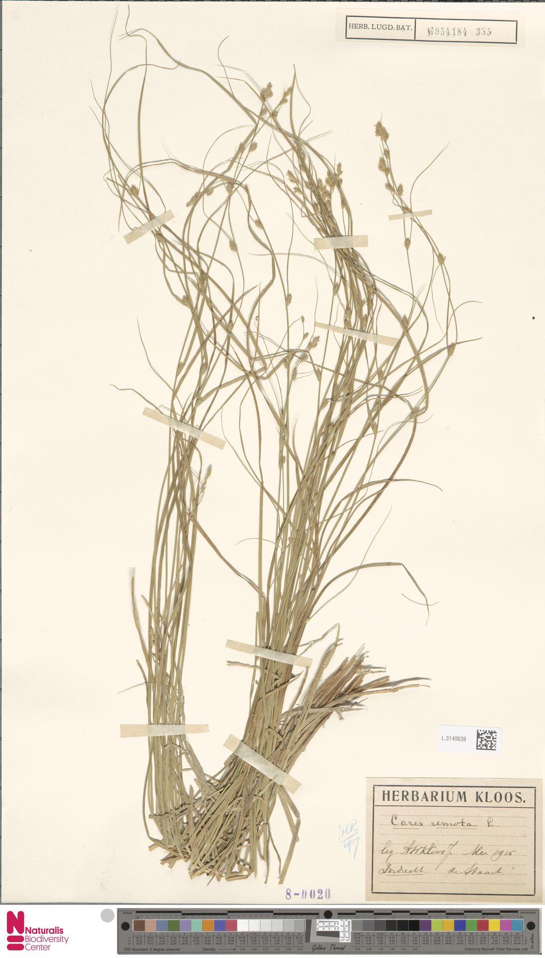 L.3140639 | Carex remota L.