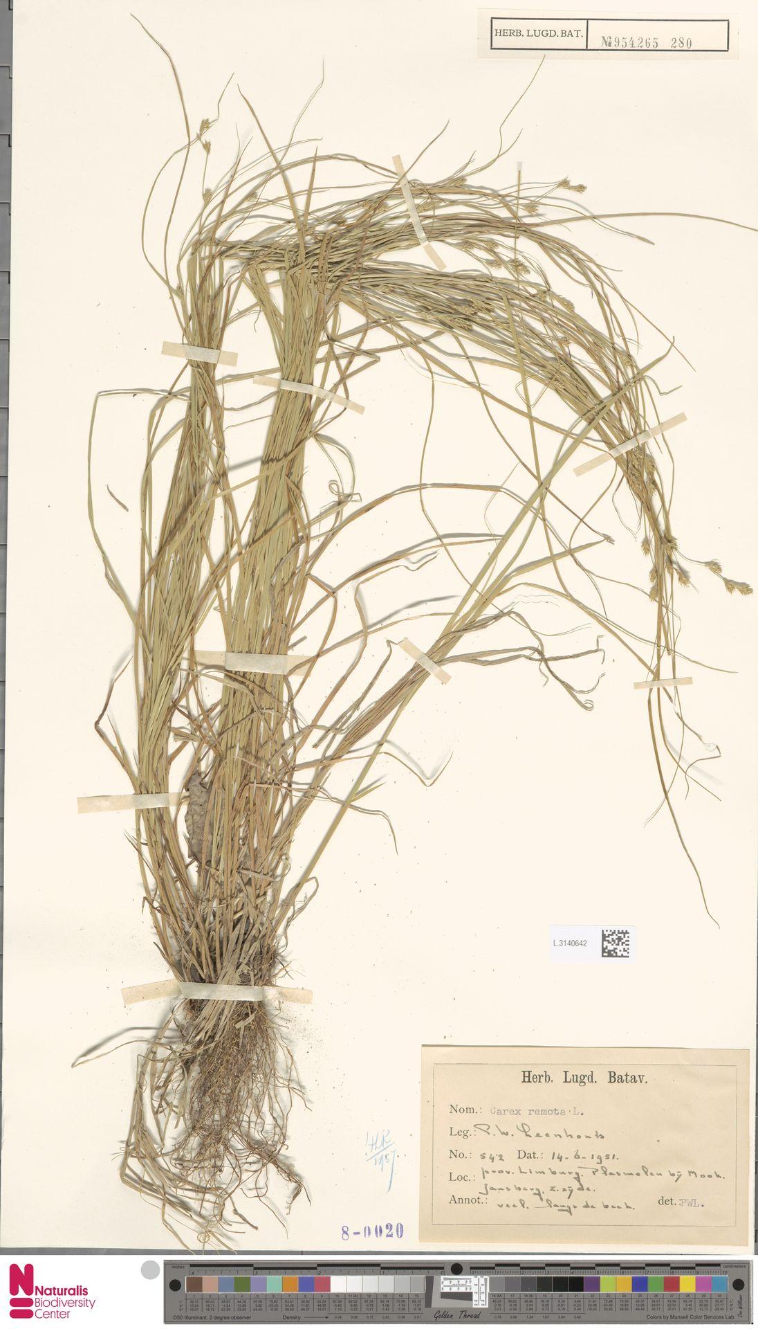 L.3140642 | Carex remota L.