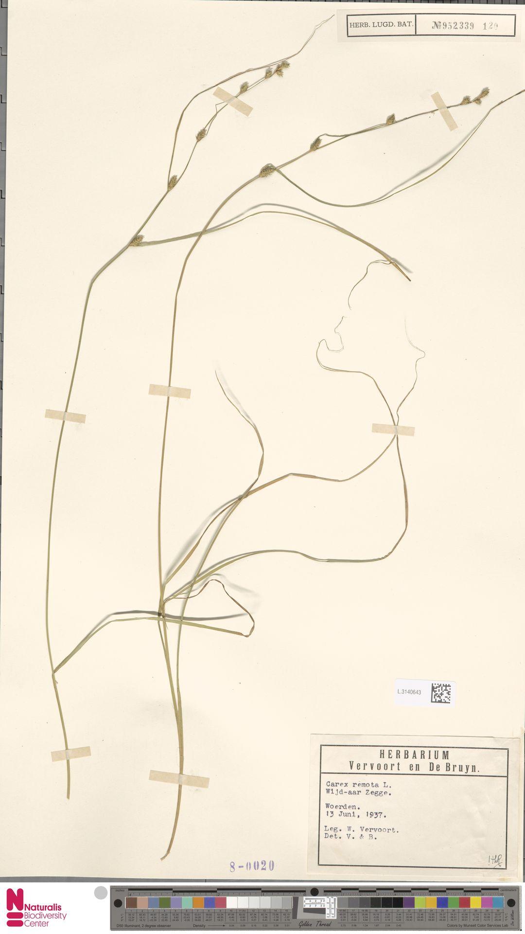 L.3140643 | Carex remota L.