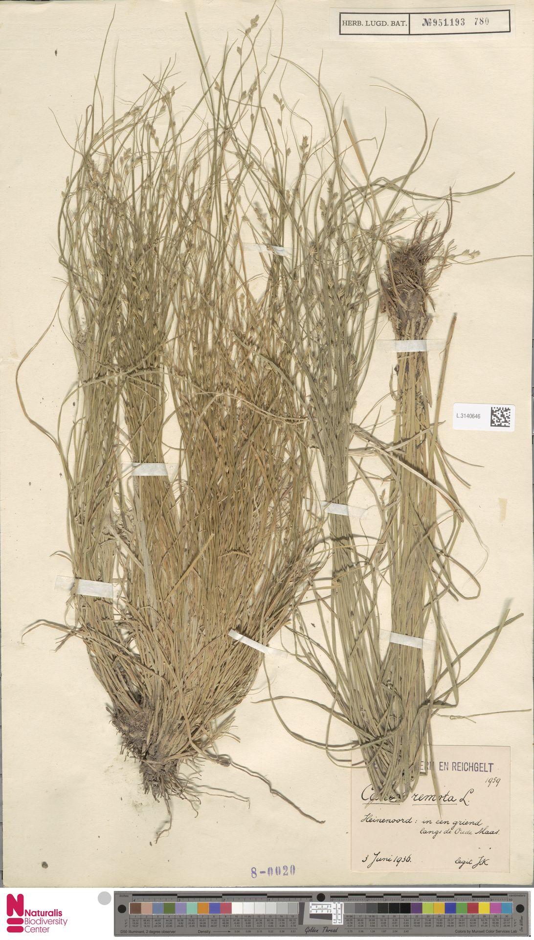 L.3140646 | Carex remota L.