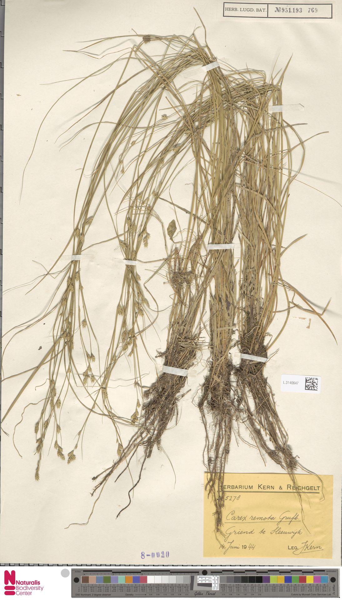 L.3140647   Carex remota L.