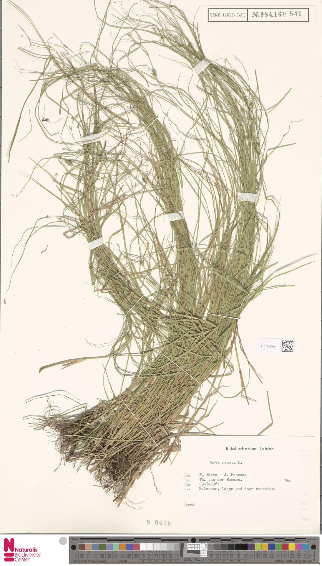 L.3140649   Carex remota L.