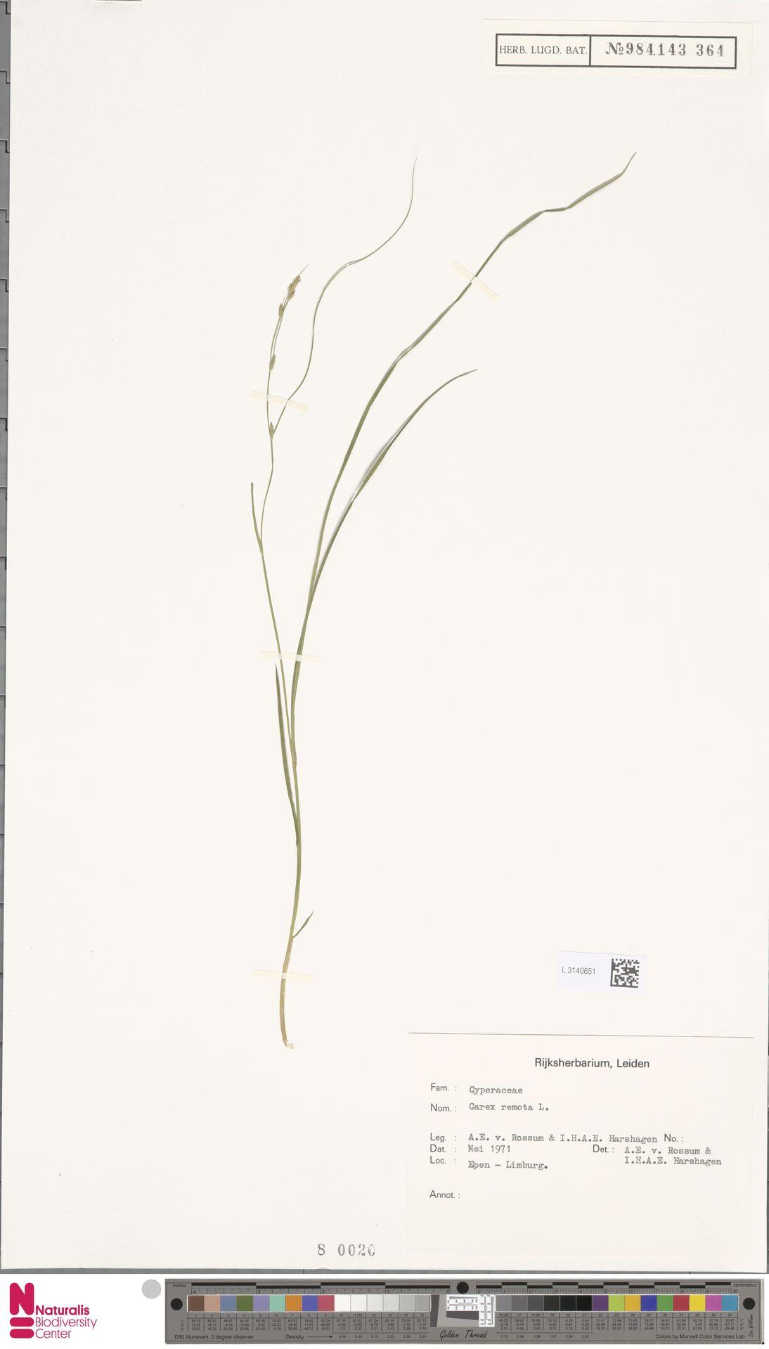 L.3140651 | Carex remota L.