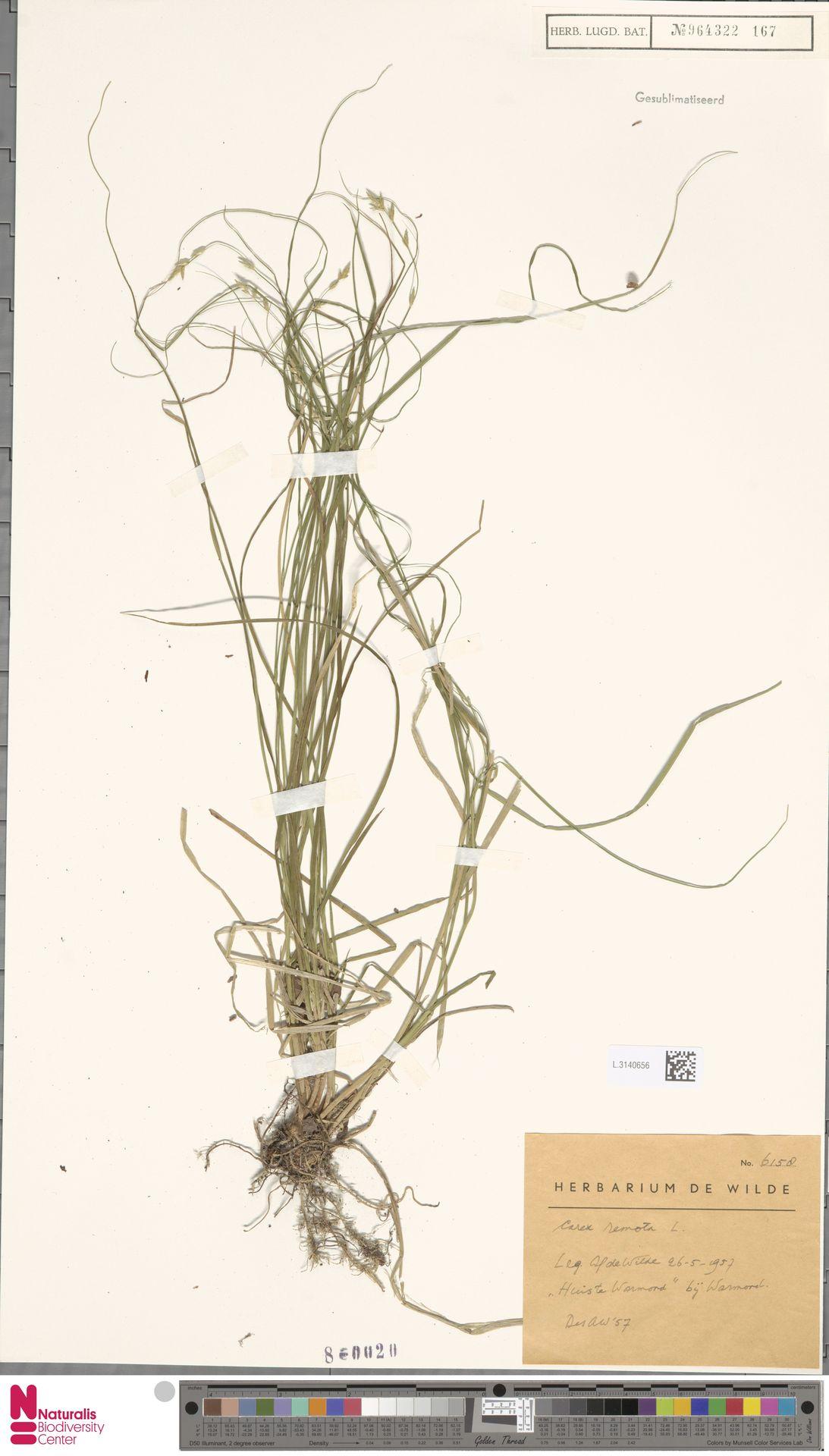 L.3140656 | Carex remota L.